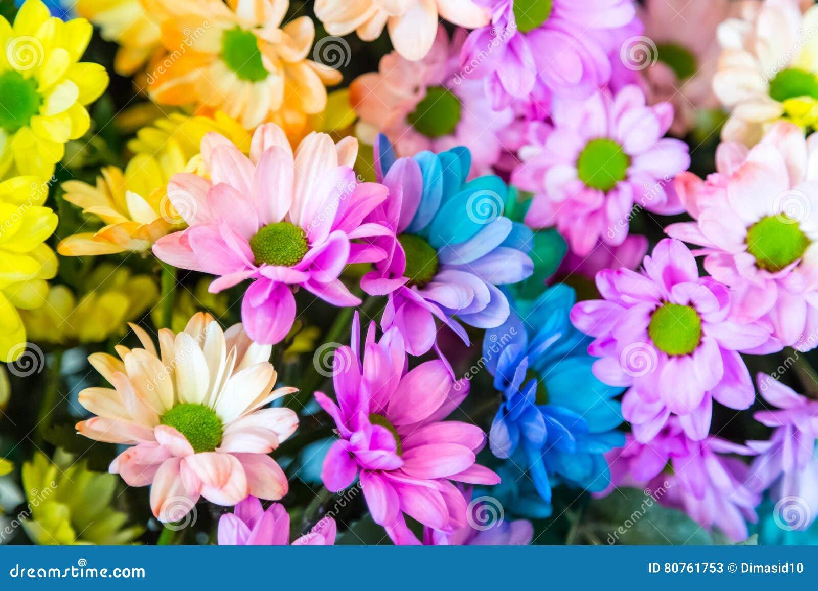 fleur d arc en ciel de chrysanth me stock photos 32 images. Black Bedroom Furniture Sets. Home Design Ideas
