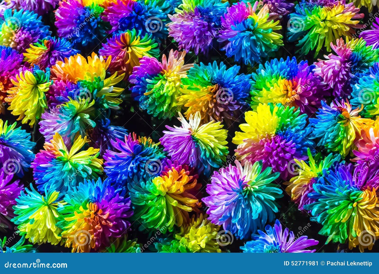 fleur d 39 arc en ciel de chrysanth me photo stock image 52771981. Black Bedroom Furniture Sets. Home Design Ideas