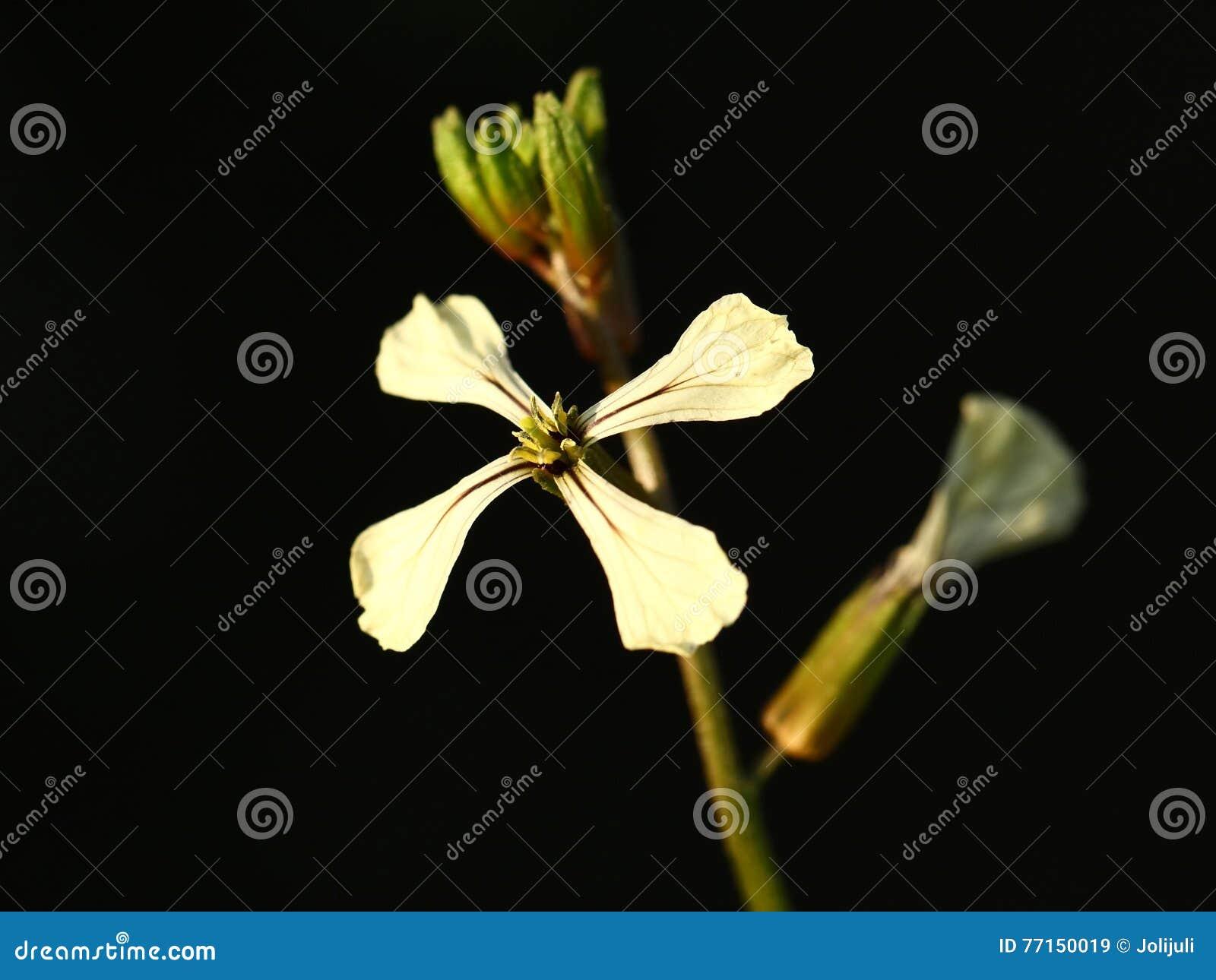 Fleur d Arugula