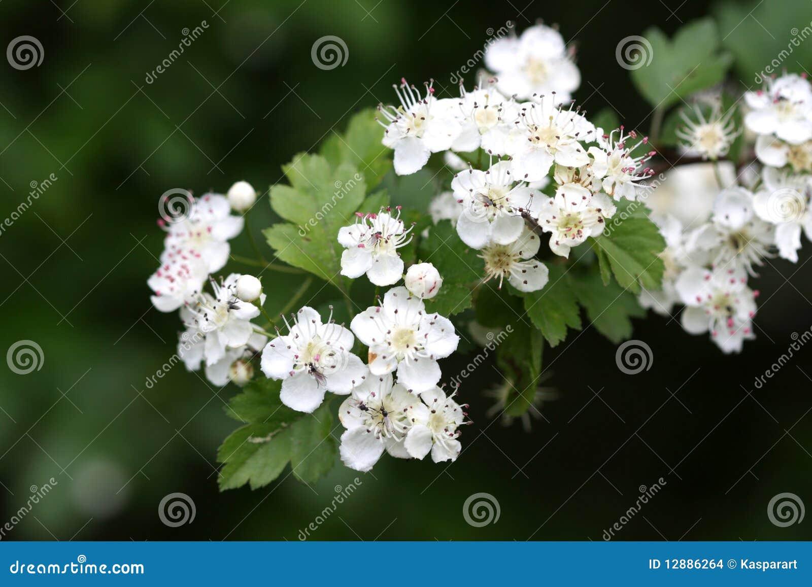 fleur d 39 aub pine photo stock image du blanc nature 12886264. Black Bedroom Furniture Sets. Home Design Ideas