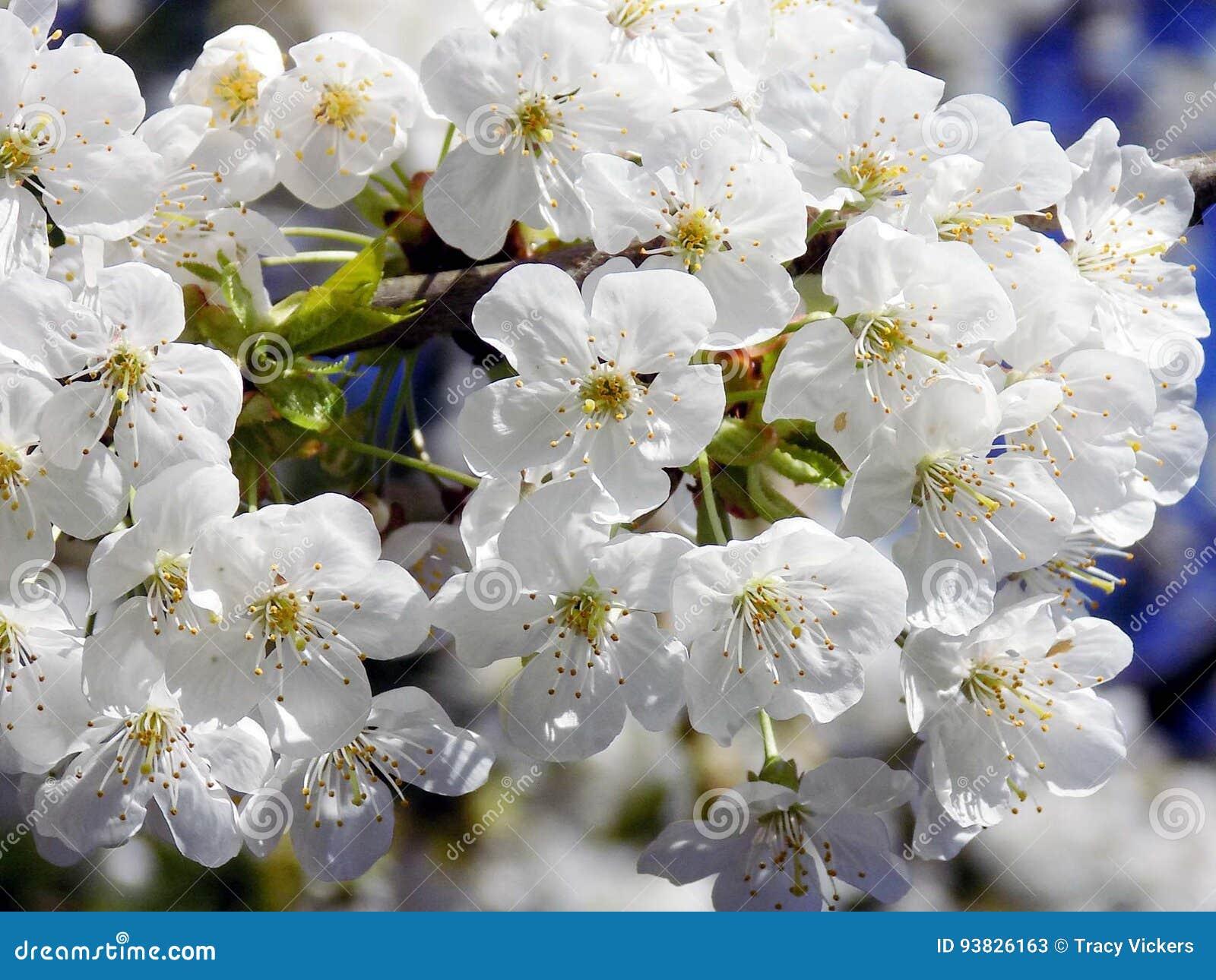 Fleur D Avril Image Stock Image Du Fleur Cerise Blanc 93826163