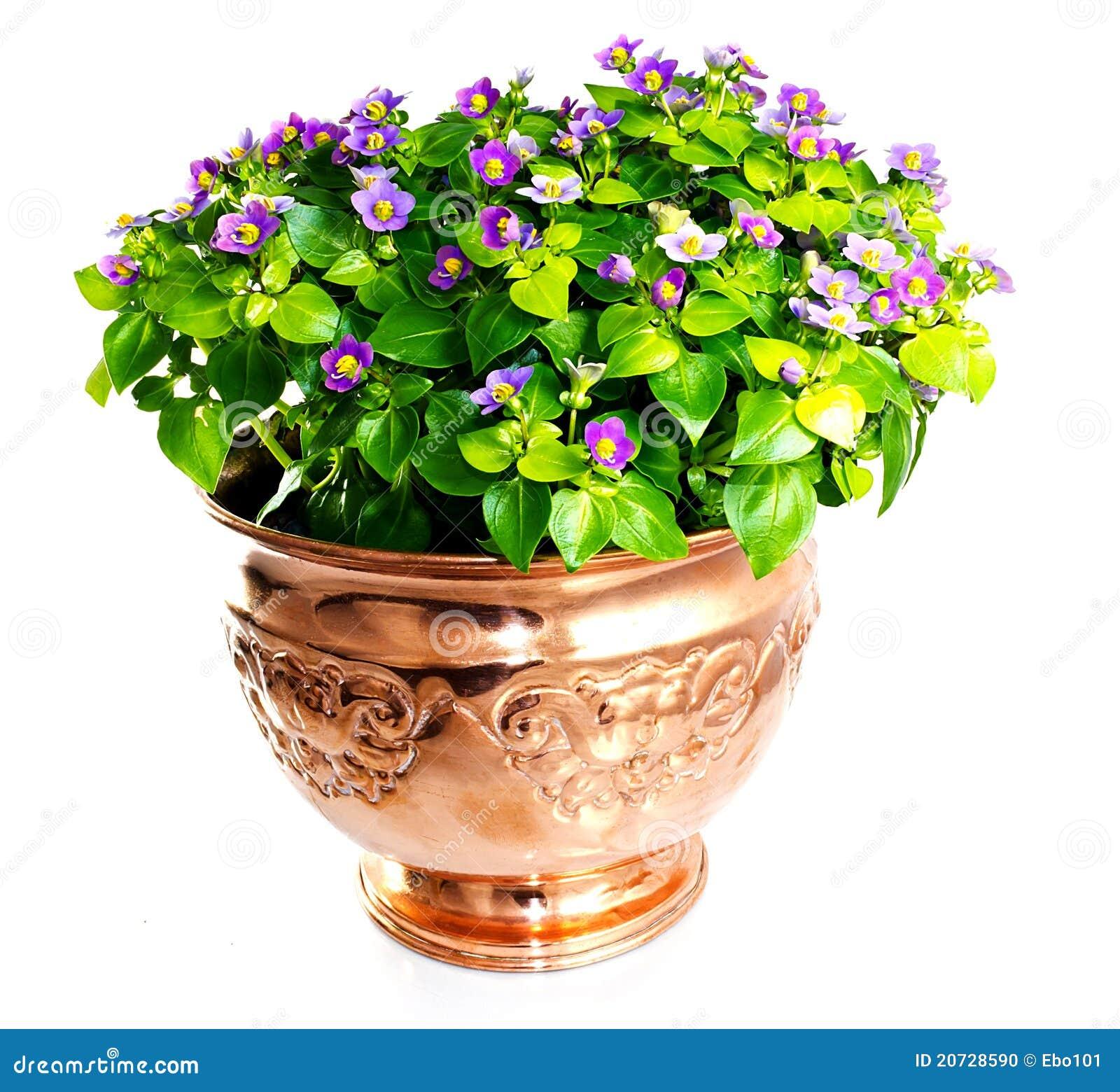 Fleur d Exacum dans le vase de cuivre