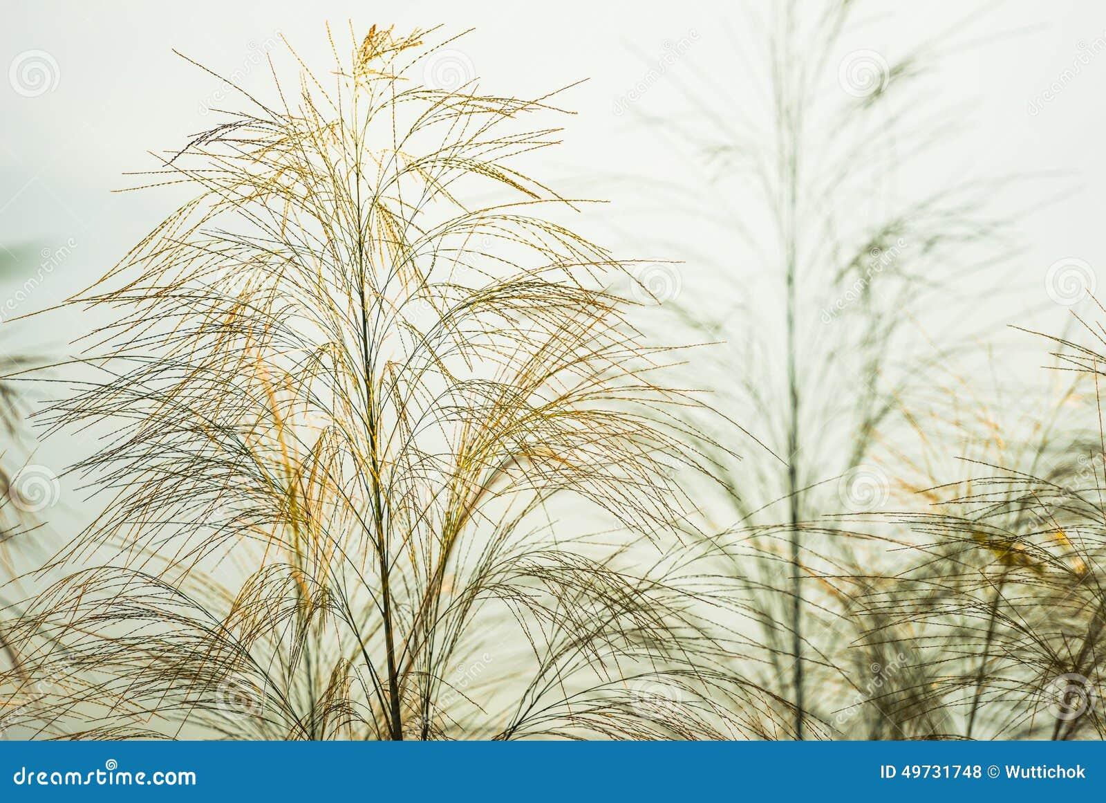 Fleur d herbe verte sous le ciel bleu