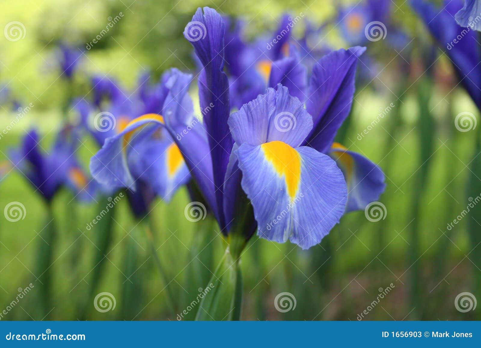 Fleur d iris