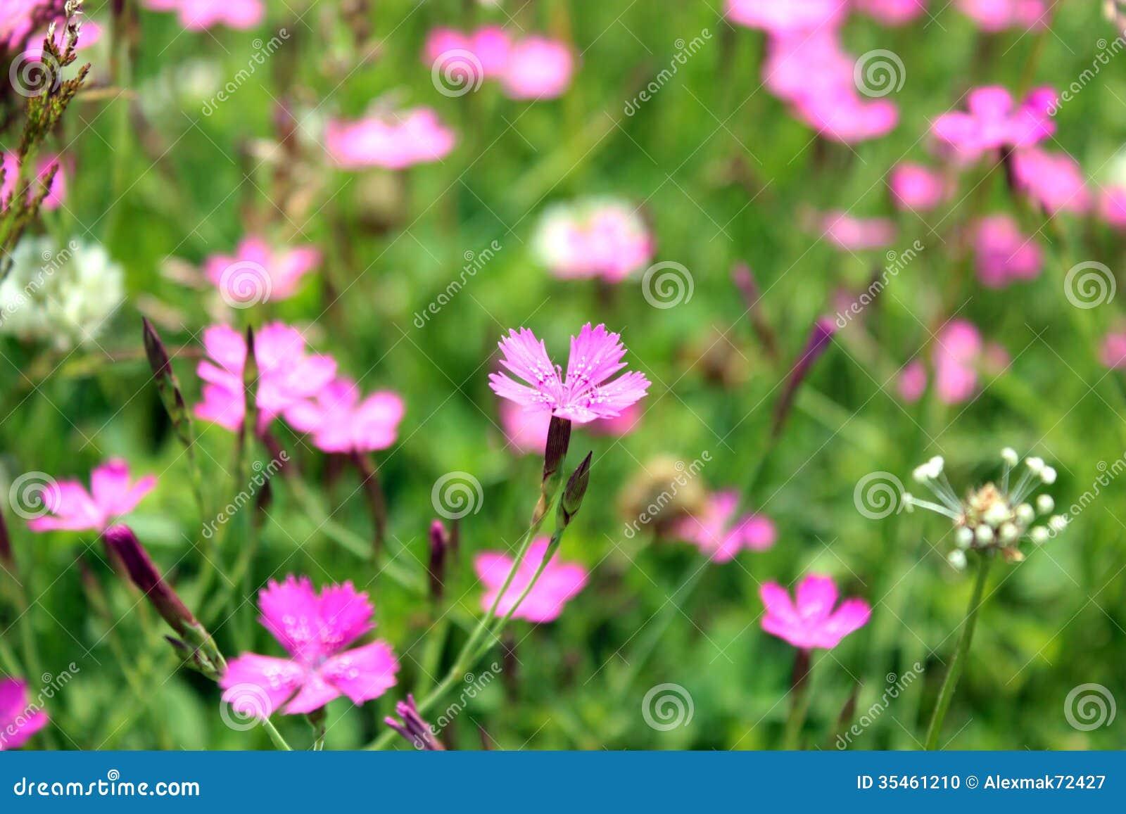 fleur d'oeillet sauvage rouge images libres de droits - image