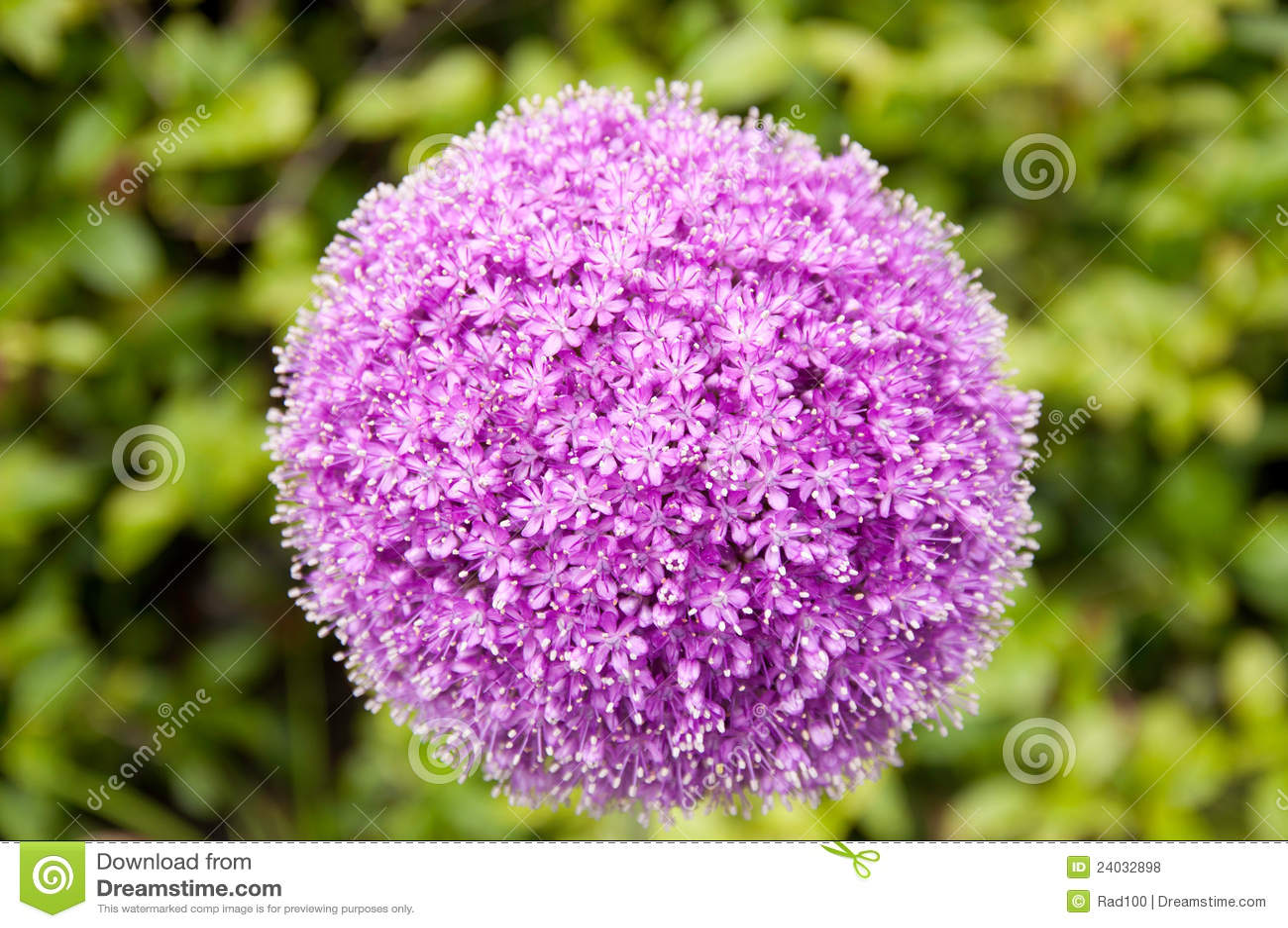 fleur d 39 oignon g ant photos libres de droits image 24032898. Black Bedroom Furniture Sets. Home Design Ideas