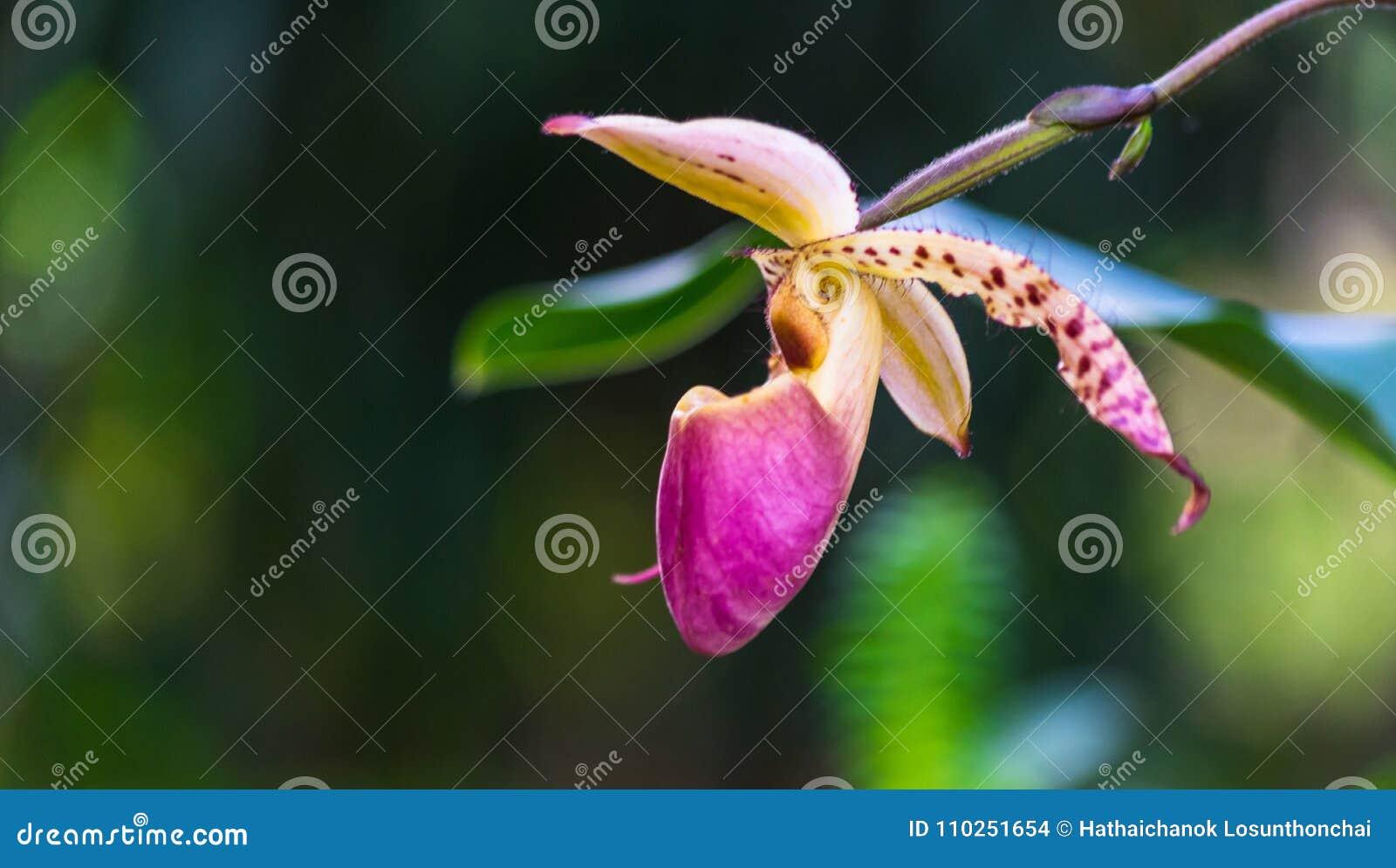 Fleur D\'orchidée Dans Le Jardin Tropical, Chiang Mai, Thaïlande ...