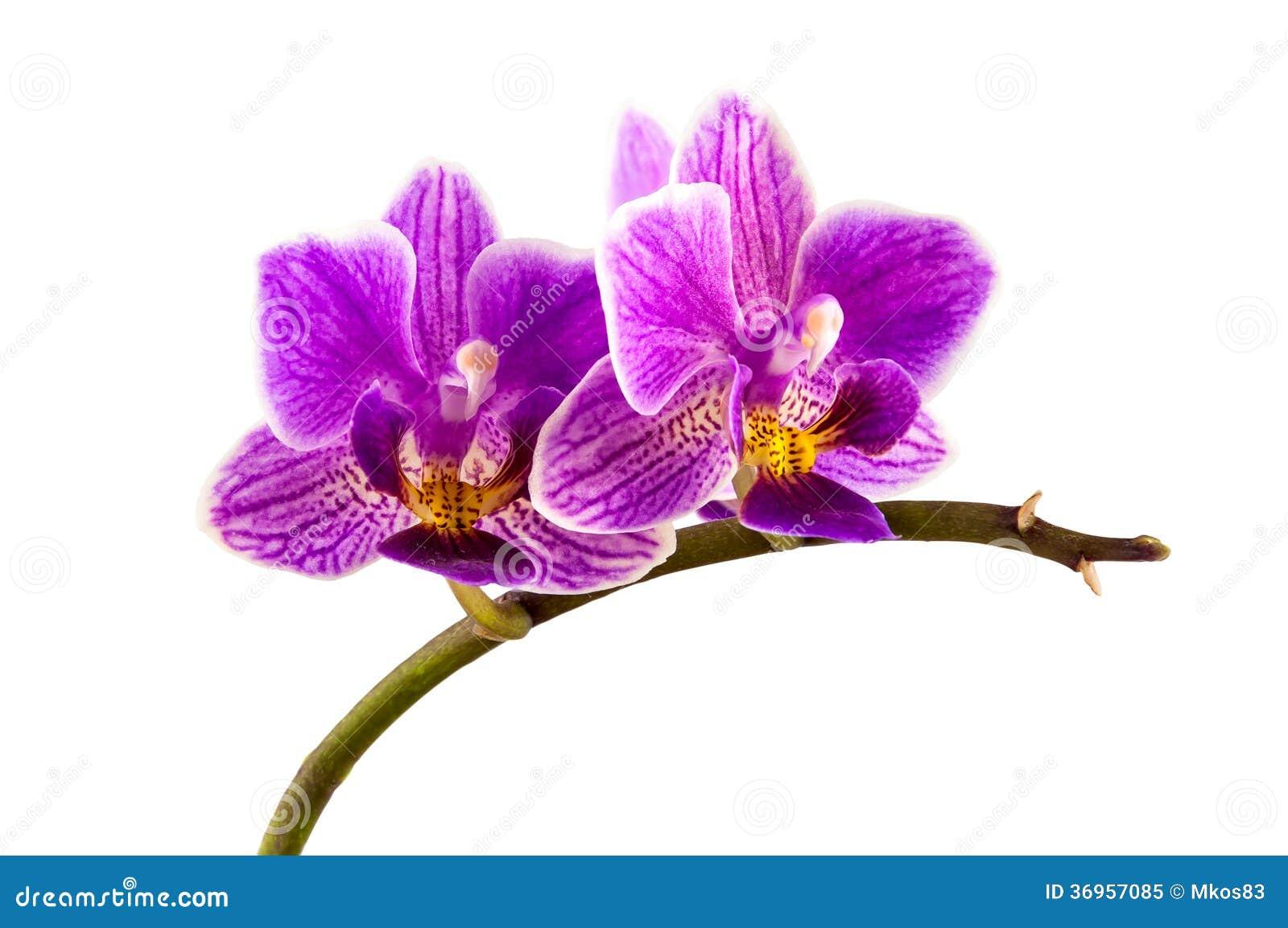 Fleur d 39 orchid e stri e par violette image stock image - Image fleur violette ...