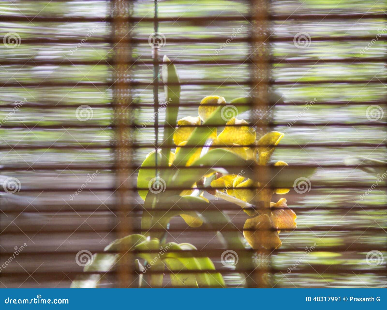 fleur d 39 orchid e derri re le rideau en fen tre photo stock image 48317991. Black Bedroom Furniture Sets. Home Design Ideas