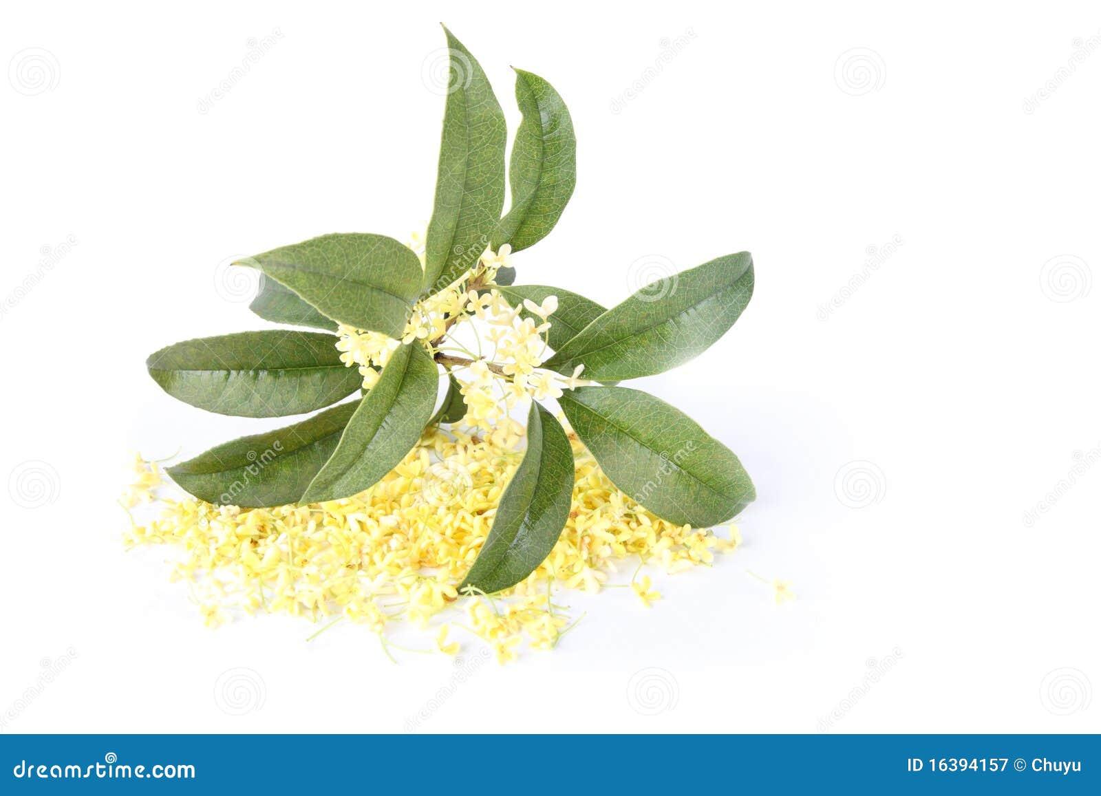 Fleur D Osmanthus Image Stock Image Du Aout Parfum 16394157