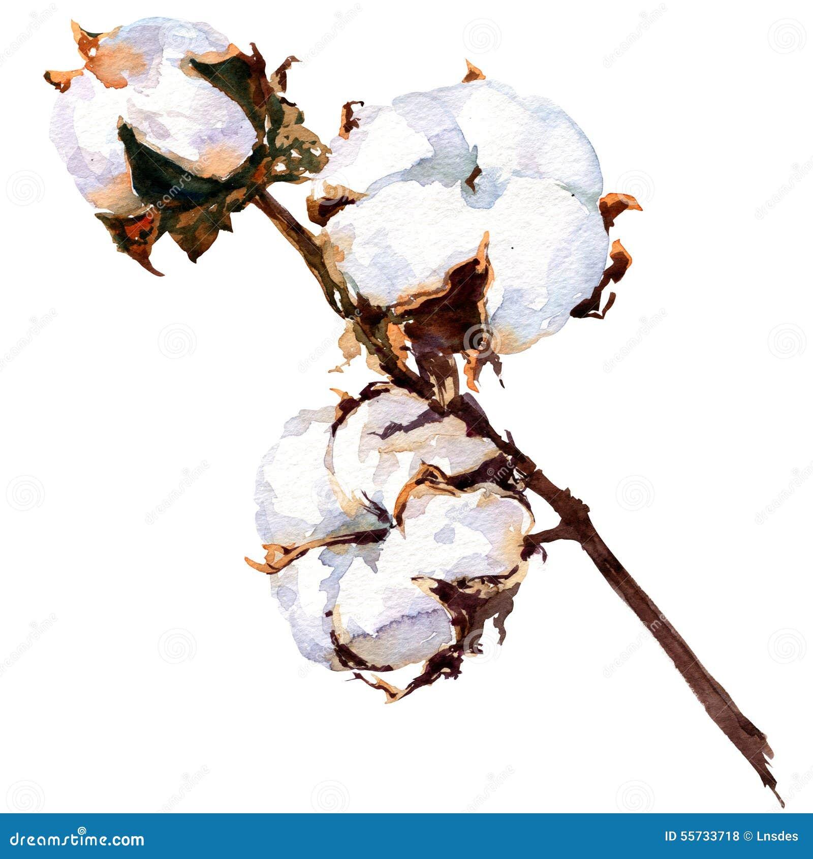 Fleur D Usine De Coton D Isolement Peinture D Aquarelle