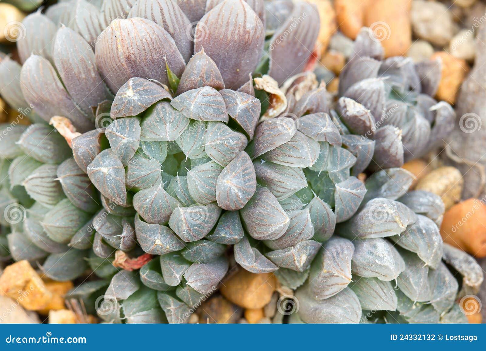 Fleur de baker de cooperi de haworthia photographie stock for Baker fleurs