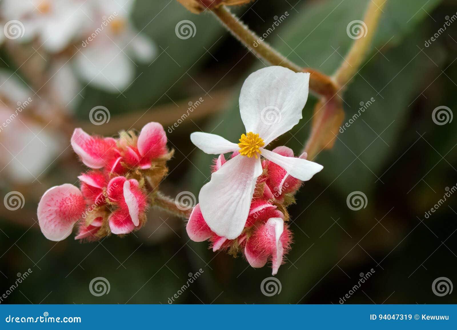 fleur de begonia white avec l'étamine jaune et fleur rose velue