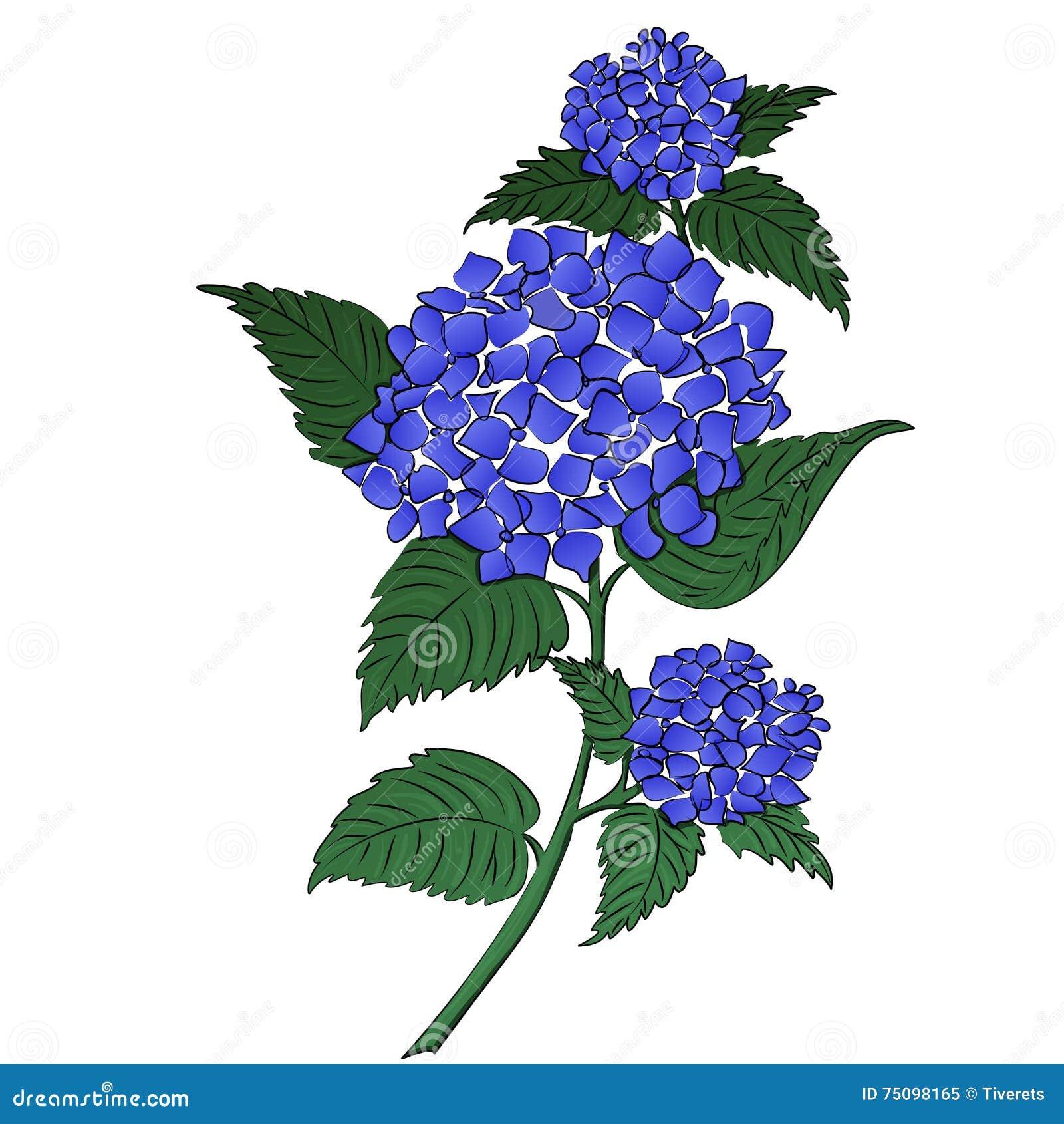 Fleur De Bleu D Hortensia Illustration De Vecteur Illustration Du
