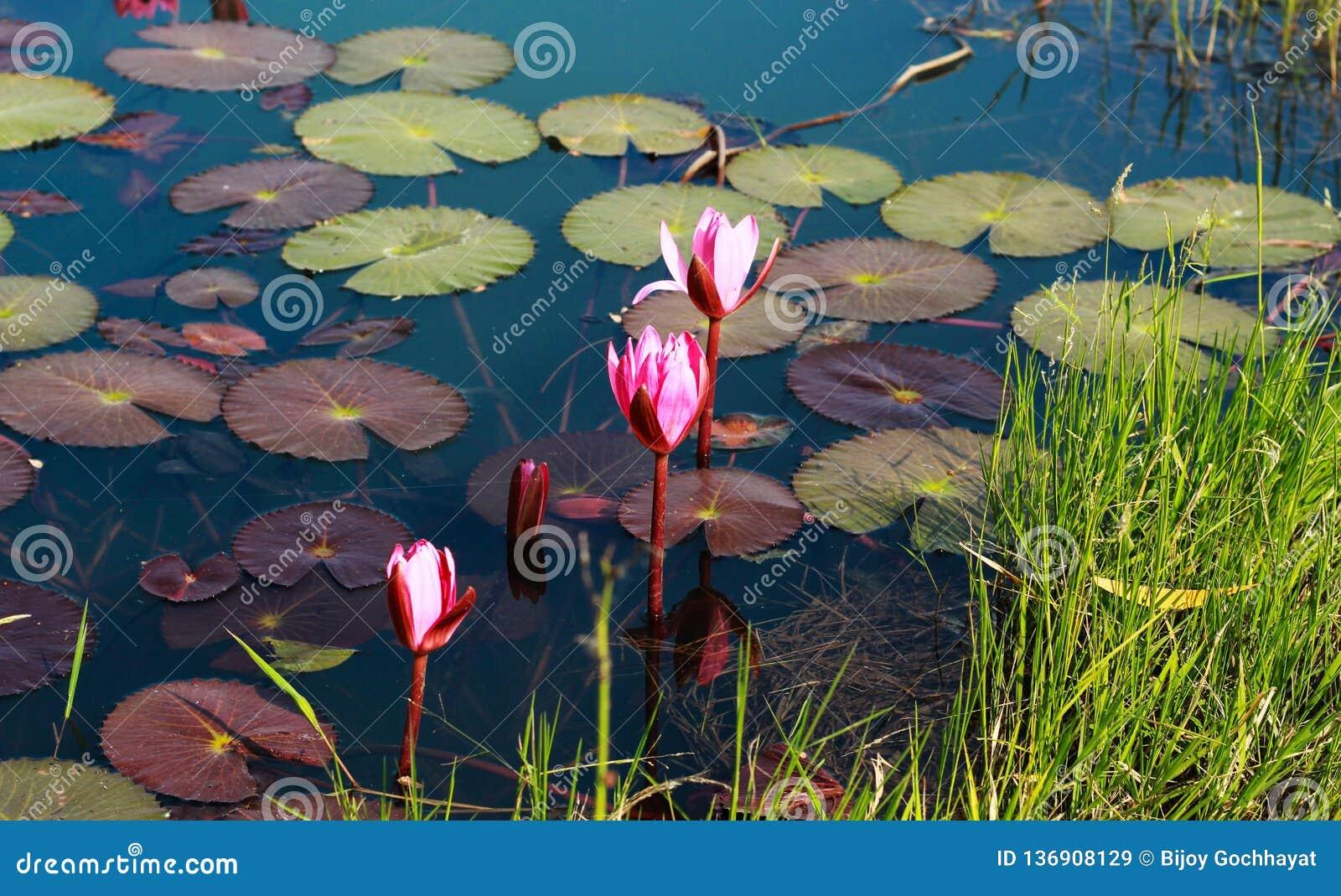 Fleur de Bloosom à l étang