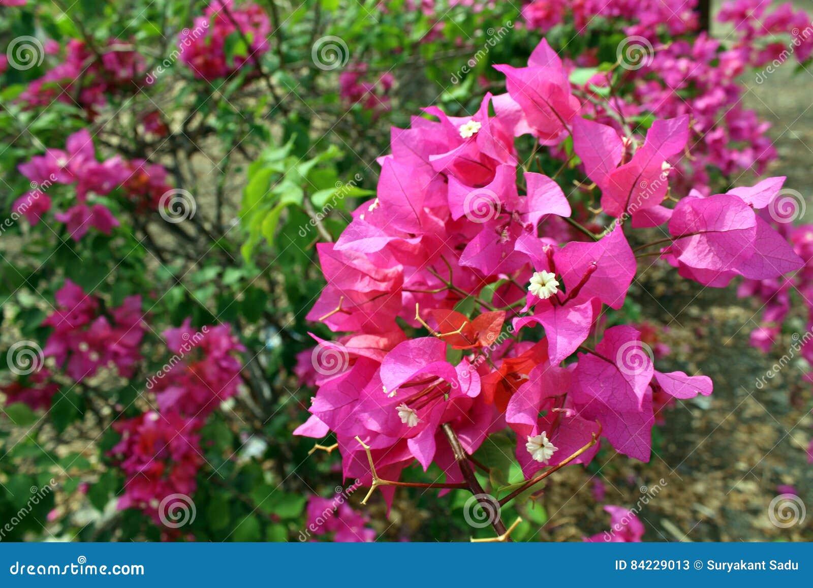 Bougainville Fleur concernant fleur de bougainville – idée d'image de fleur