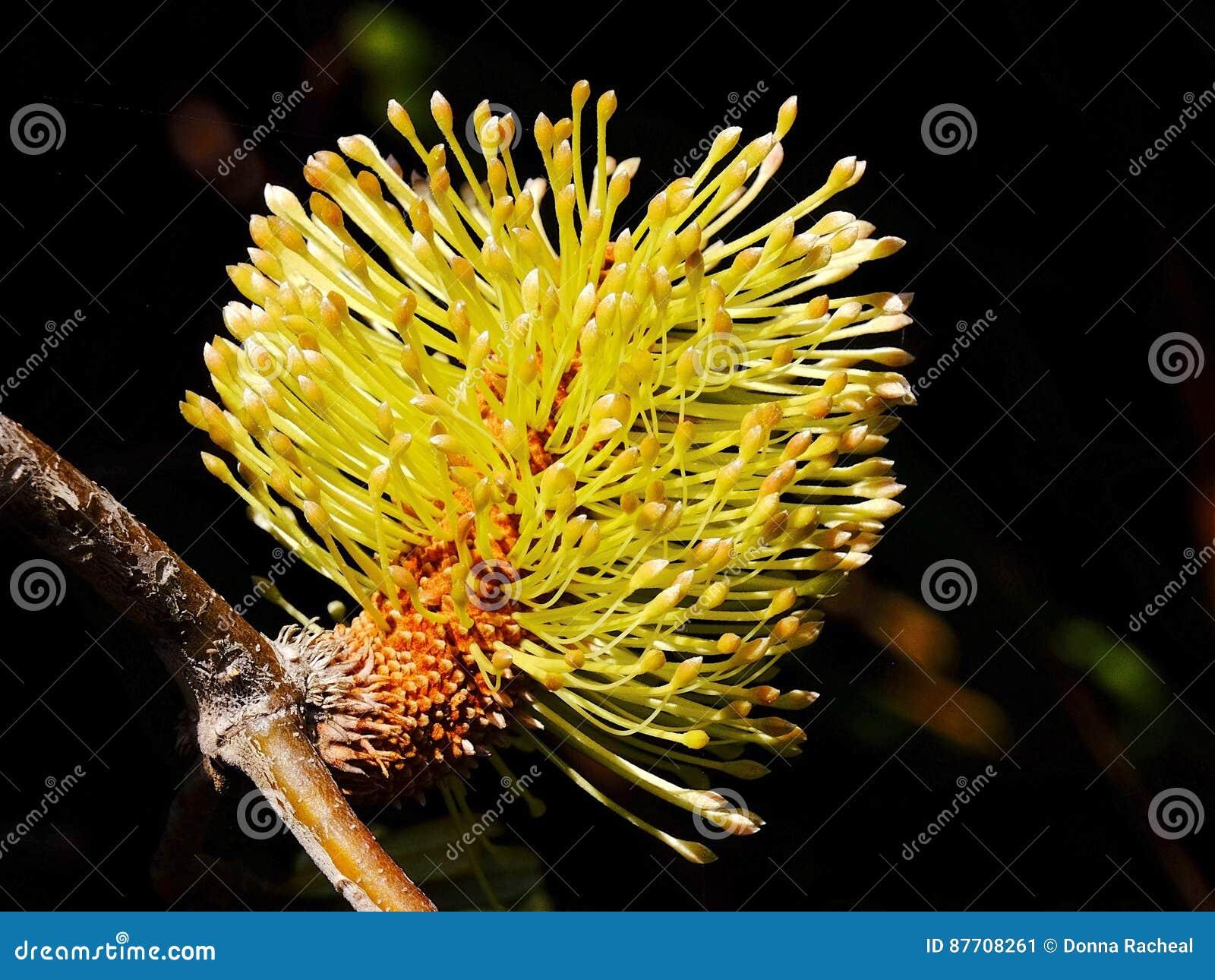 Fleur de cône de Banksia