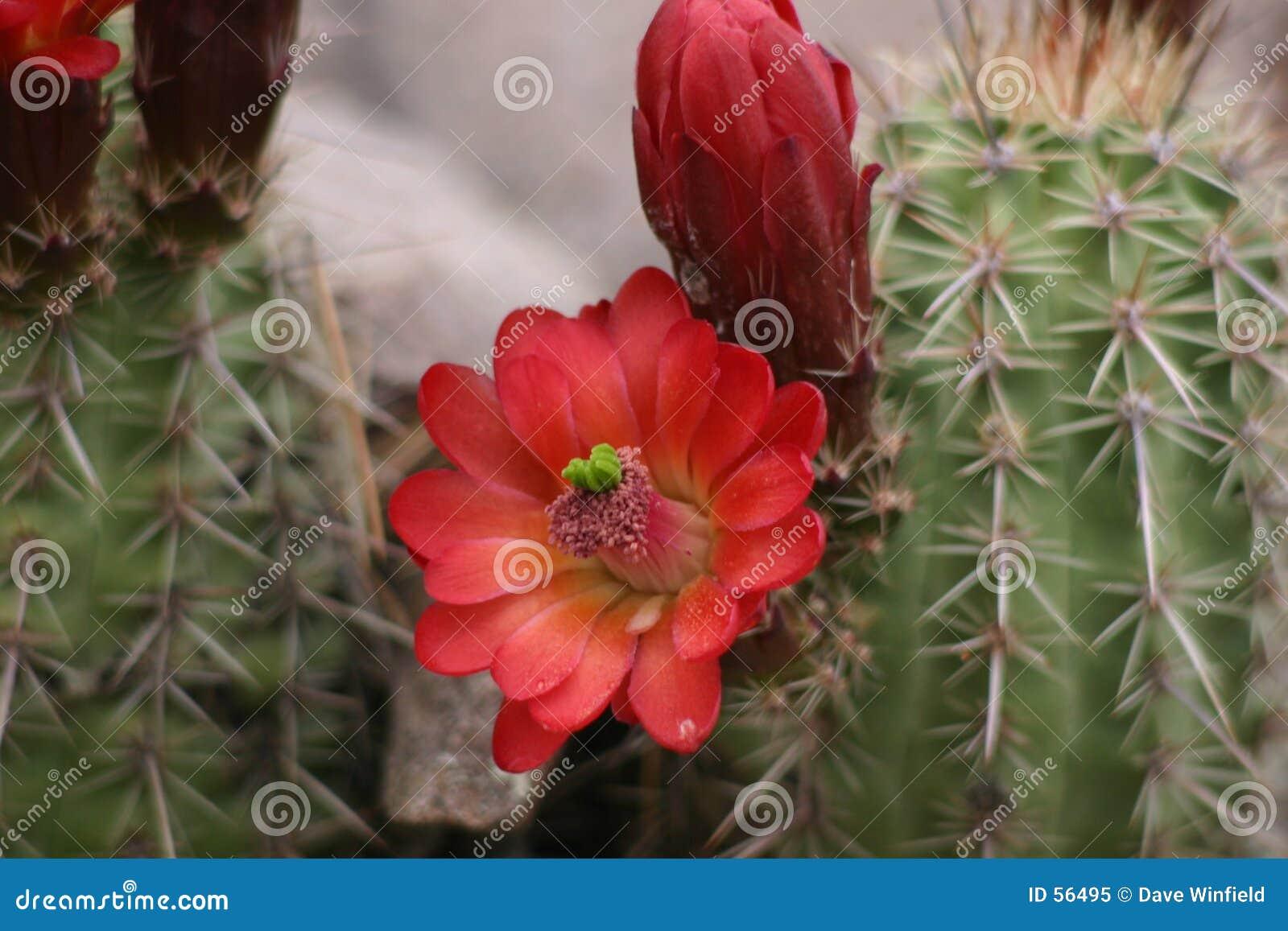 Download Fleur de cactus image stock. Image du rouge, arizona, encore - 56495
