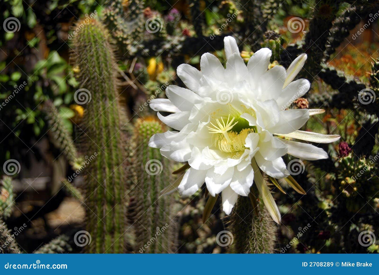 fleur de cactus de cierge images libres de droits - image: 2708289