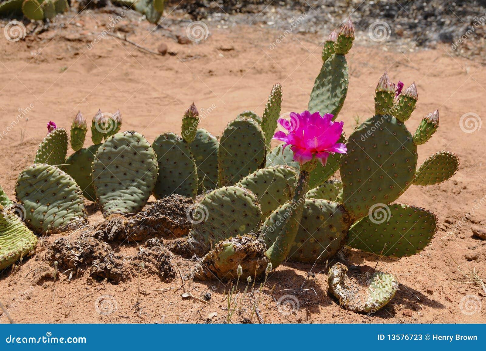 Fleur de cactus de désert image stock. Image du fleur ...