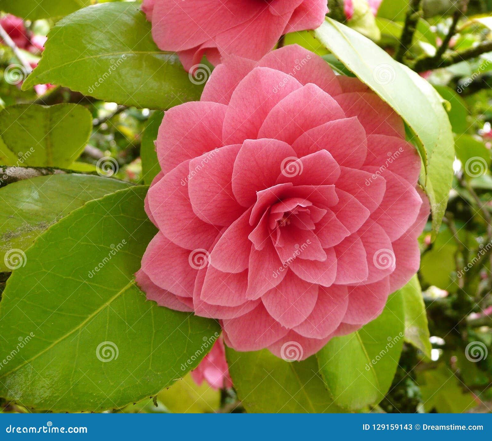 Fleur de camélia s est levé