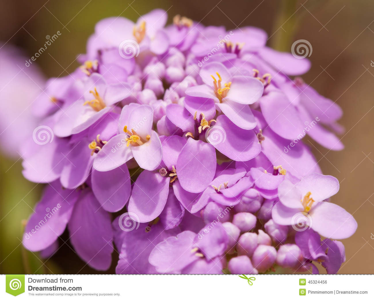 fleur de candytuft dans la couleur mauve clair sensible photo stock image du sensible macro. Black Bedroom Furniture Sets. Home Design Ideas