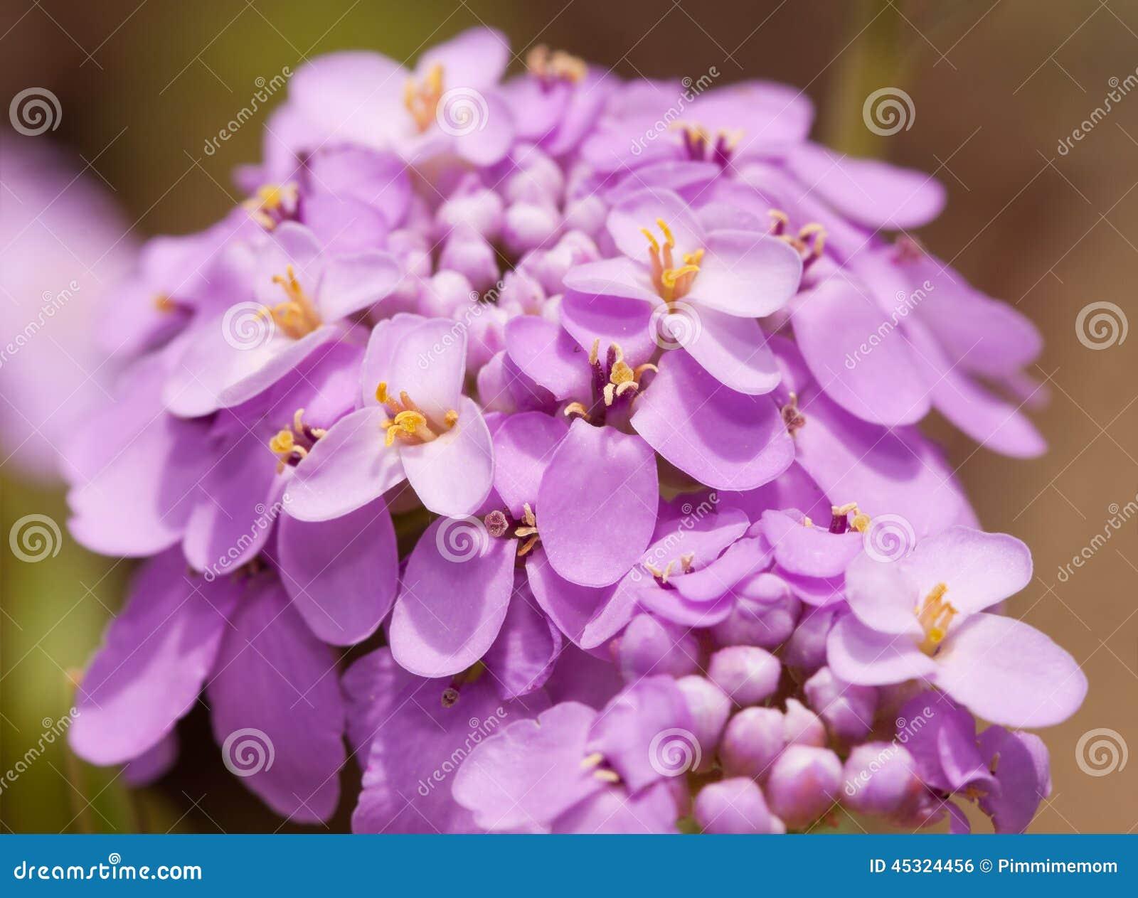 Fleur de candytuft dans la couleur mauve clair sensible photo stock image 45324456 for Mauve claire couleur
