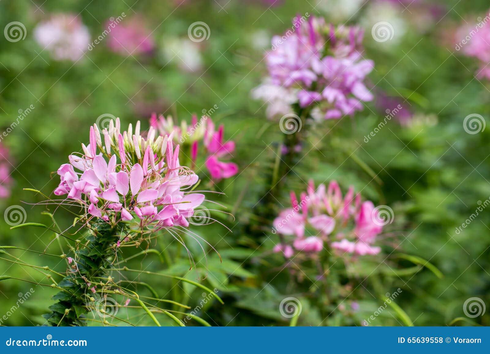 Fleur de Capparaceae