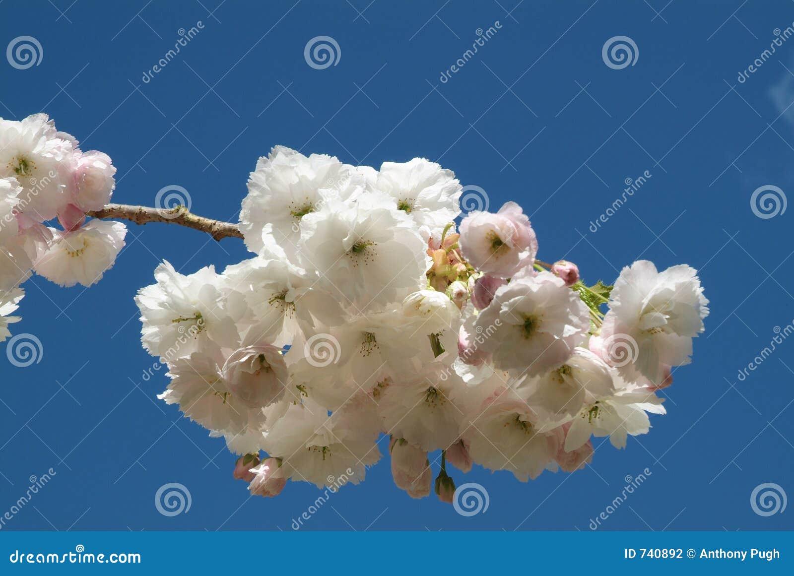 Fleur de cerise 02