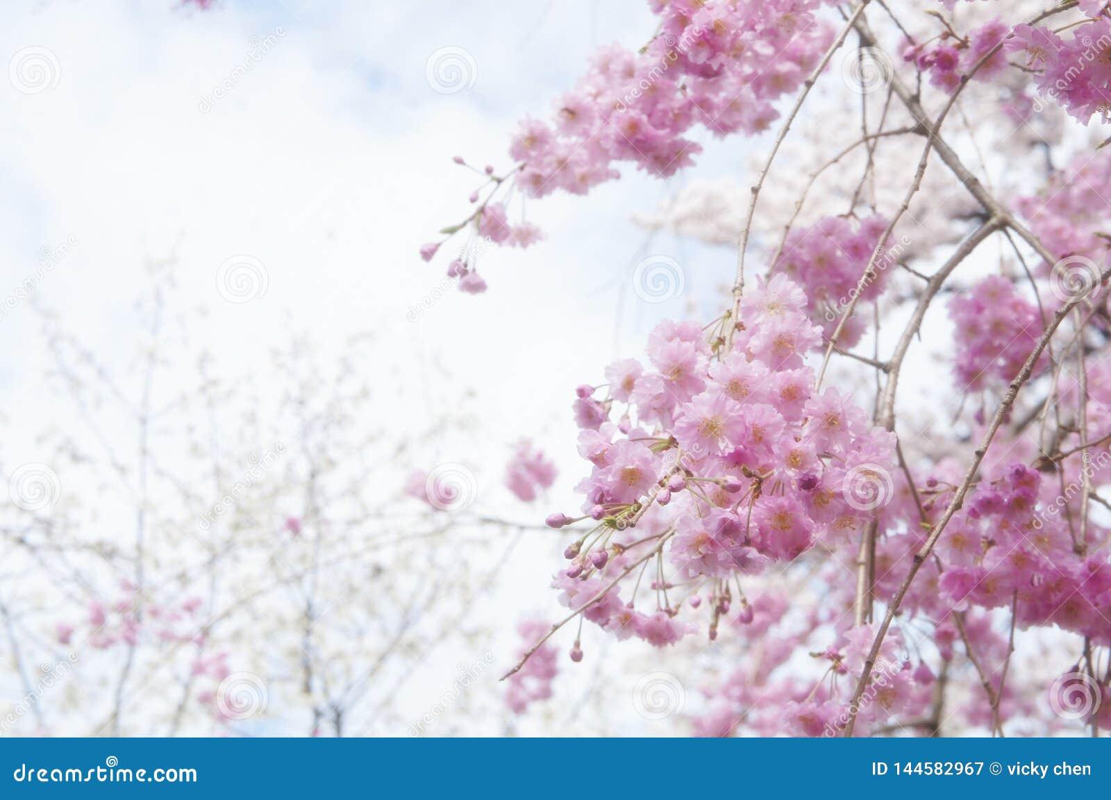 Fleur de cerise au Japon