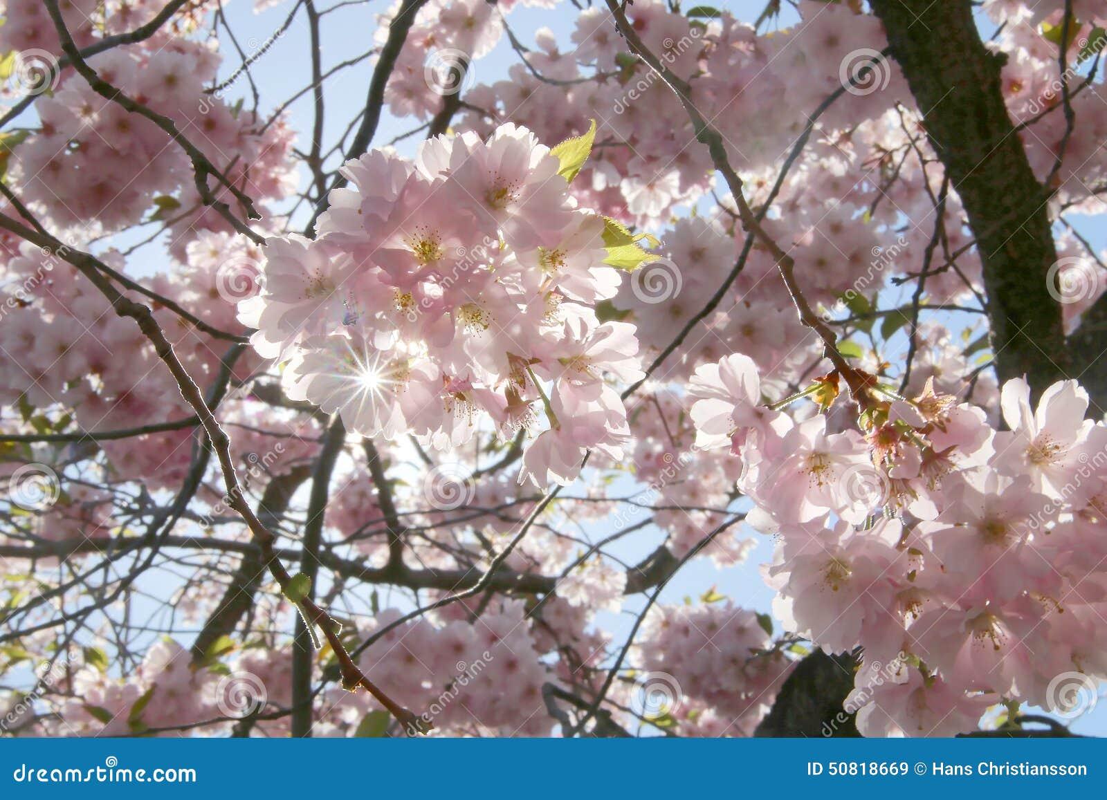 fleur de cerise dans le contre jour image stock image du. Black Bedroom Furniture Sets. Home Design Ideas
