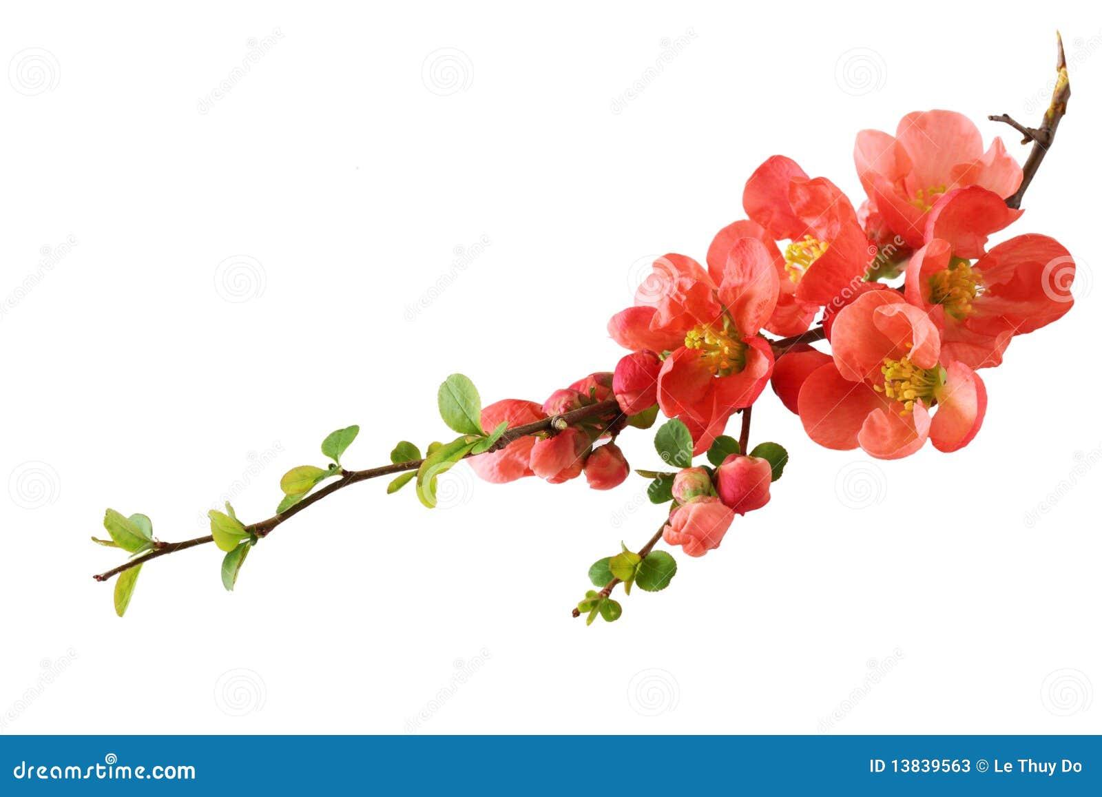 Fleur de cerise orange
