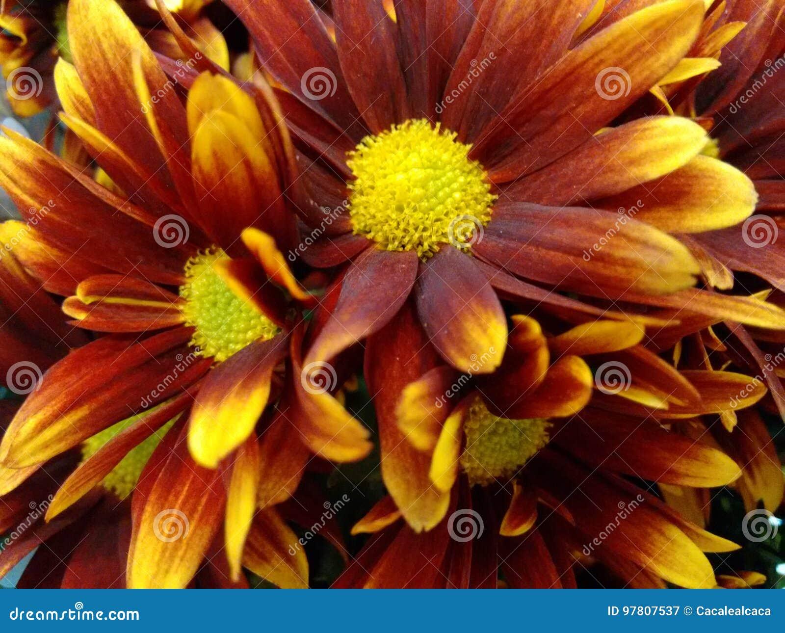 Fleur De Chrysanthème - Rouge Et Jaune Image stock - Image du fleuraison, rampement: 97807537