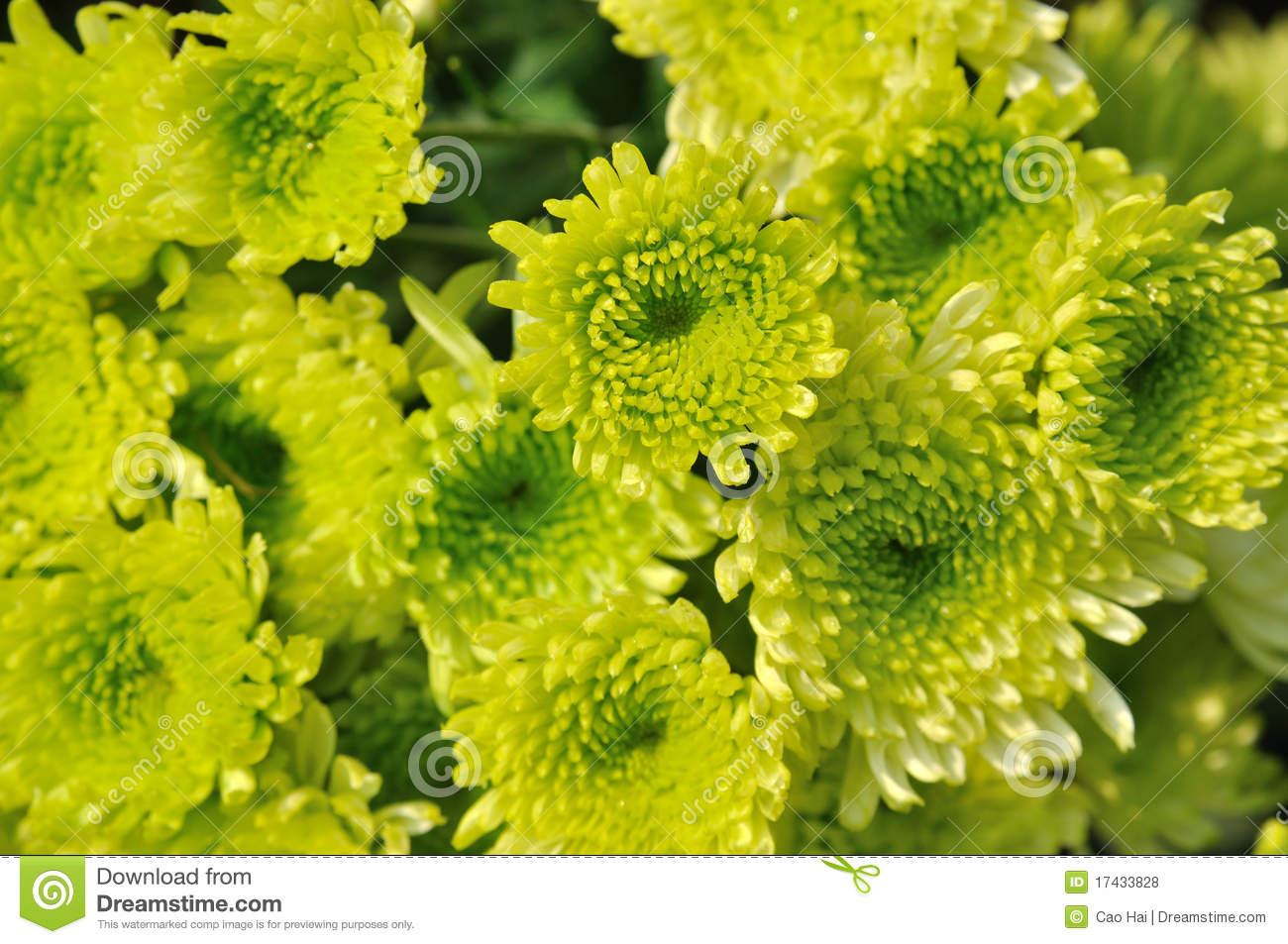fleur de chrysanthemum dans la couleur verte photo stock image 17433828. Black Bedroom Furniture Sets. Home Design Ideas