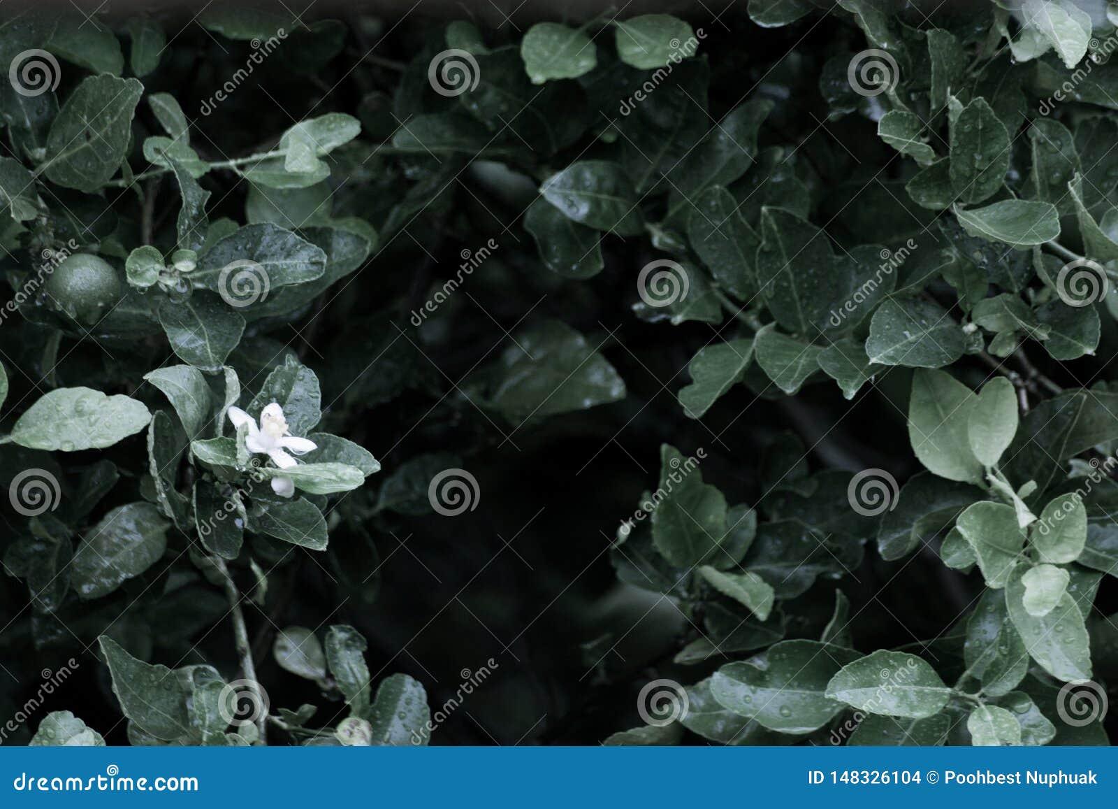 Fleur de citron dans un jardin organique