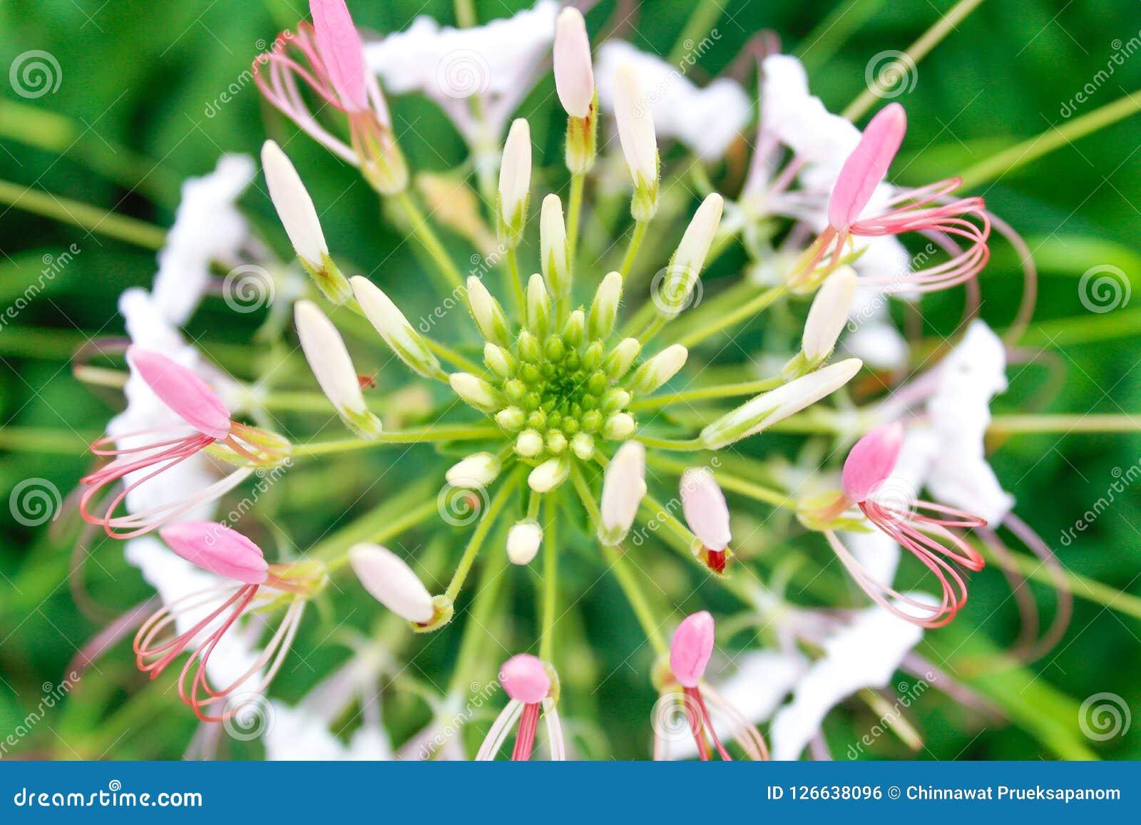 Fleur de Cleome dans le jardin Macro