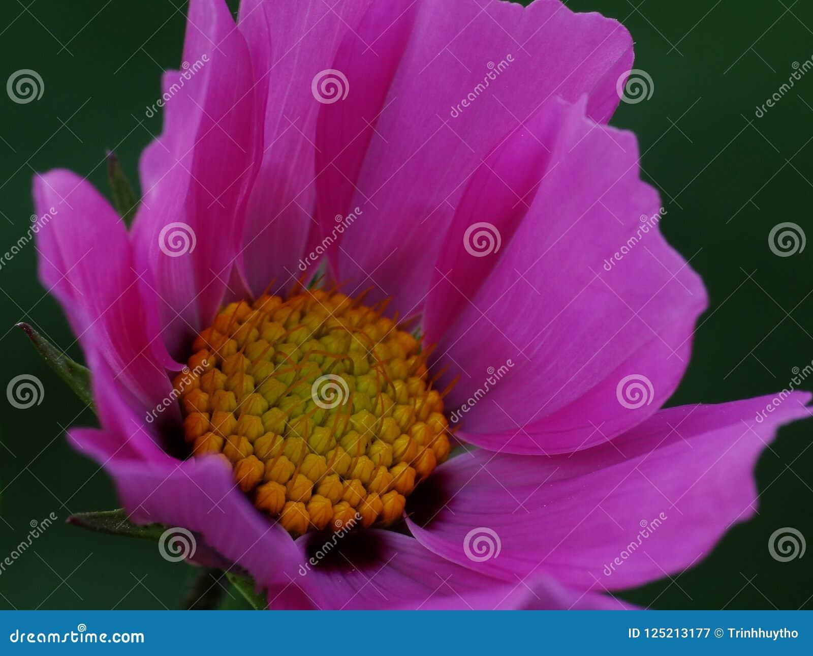 Fleur de cosmos en détail