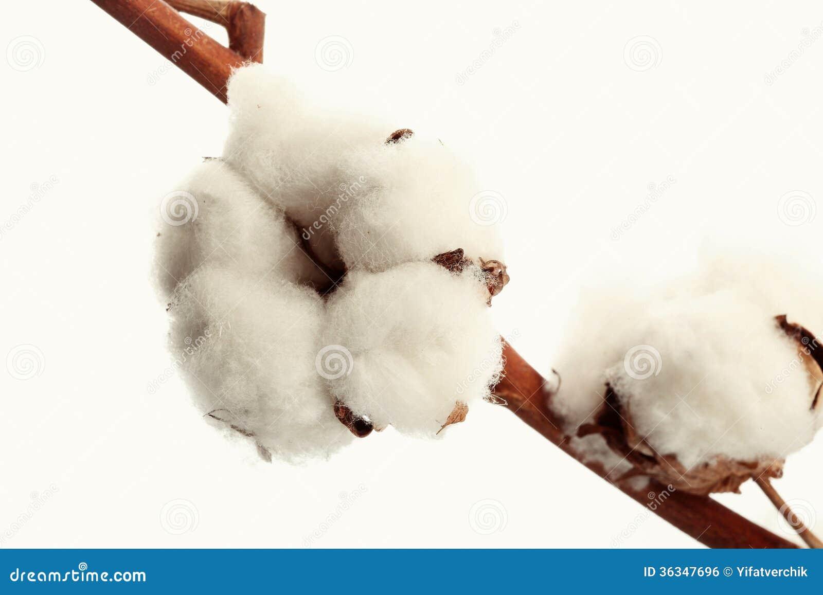fleur de coton photo stock image du nature instruction 36347696. Black Bedroom Furniture Sets. Home Design Ideas