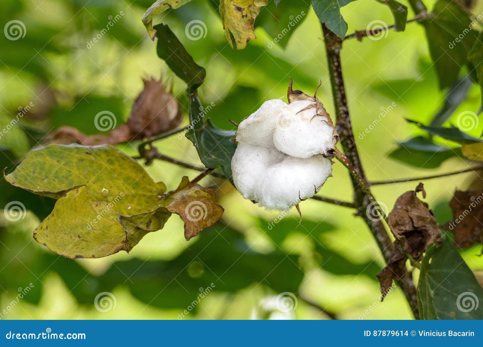Branche Fleur De Coton fleur de coton : coton blanc sur une branche d'arbre photo