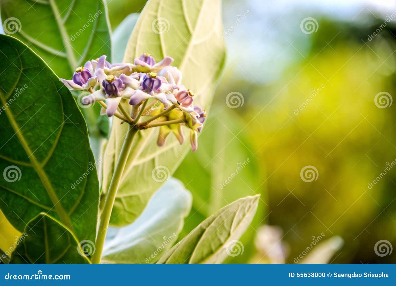 Fleur de couronne