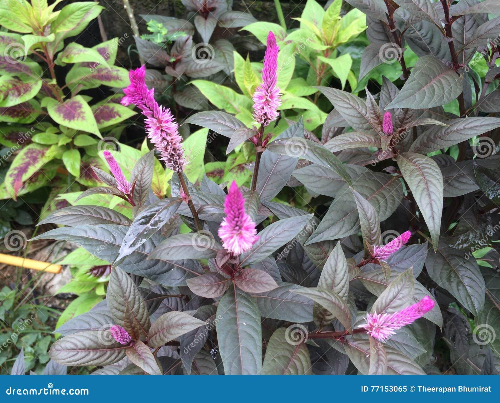 Fleur de crête en Thaïlande
