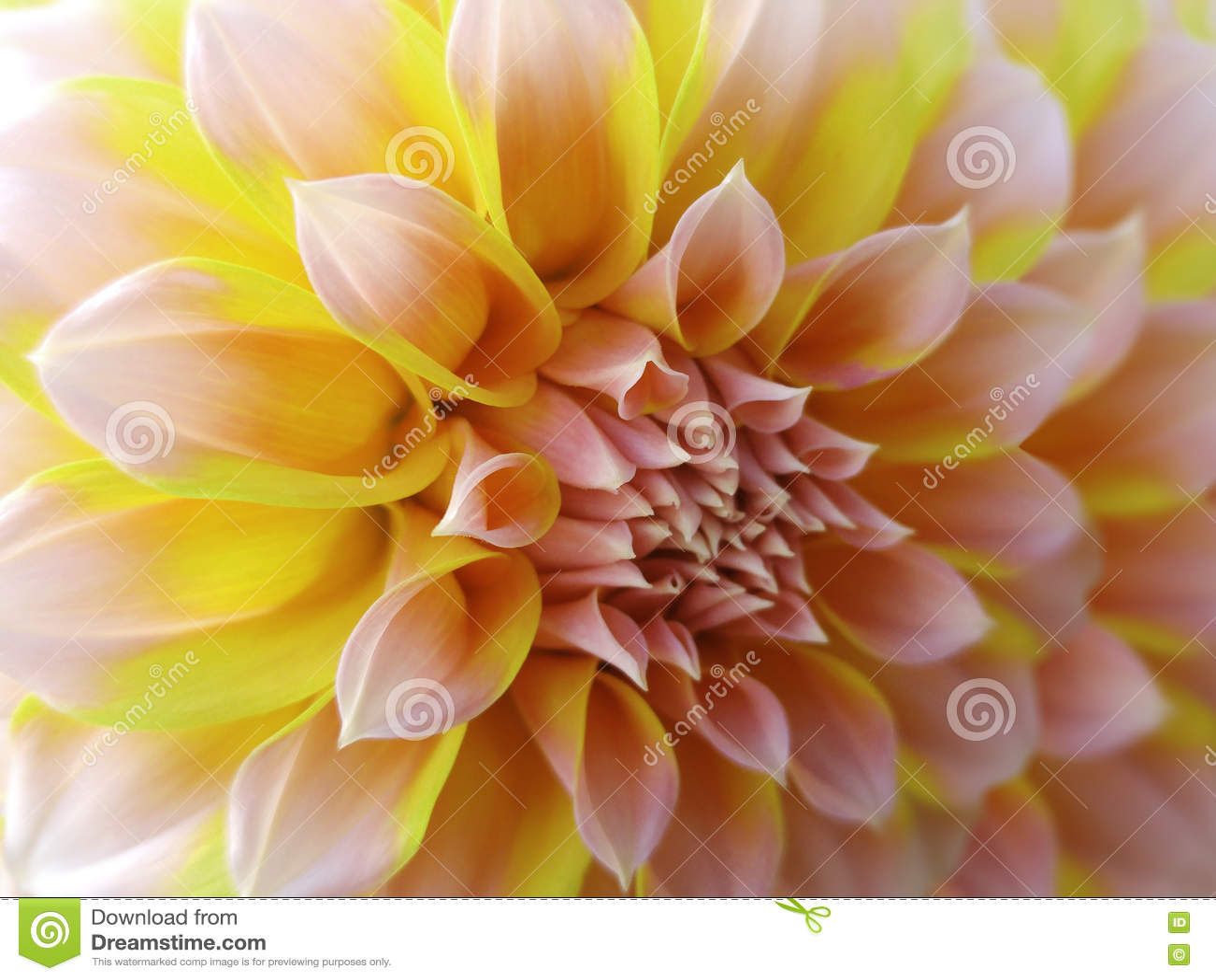 fleur de dahlia, jaune-orange-rose closeup beau dahlia la fleur de