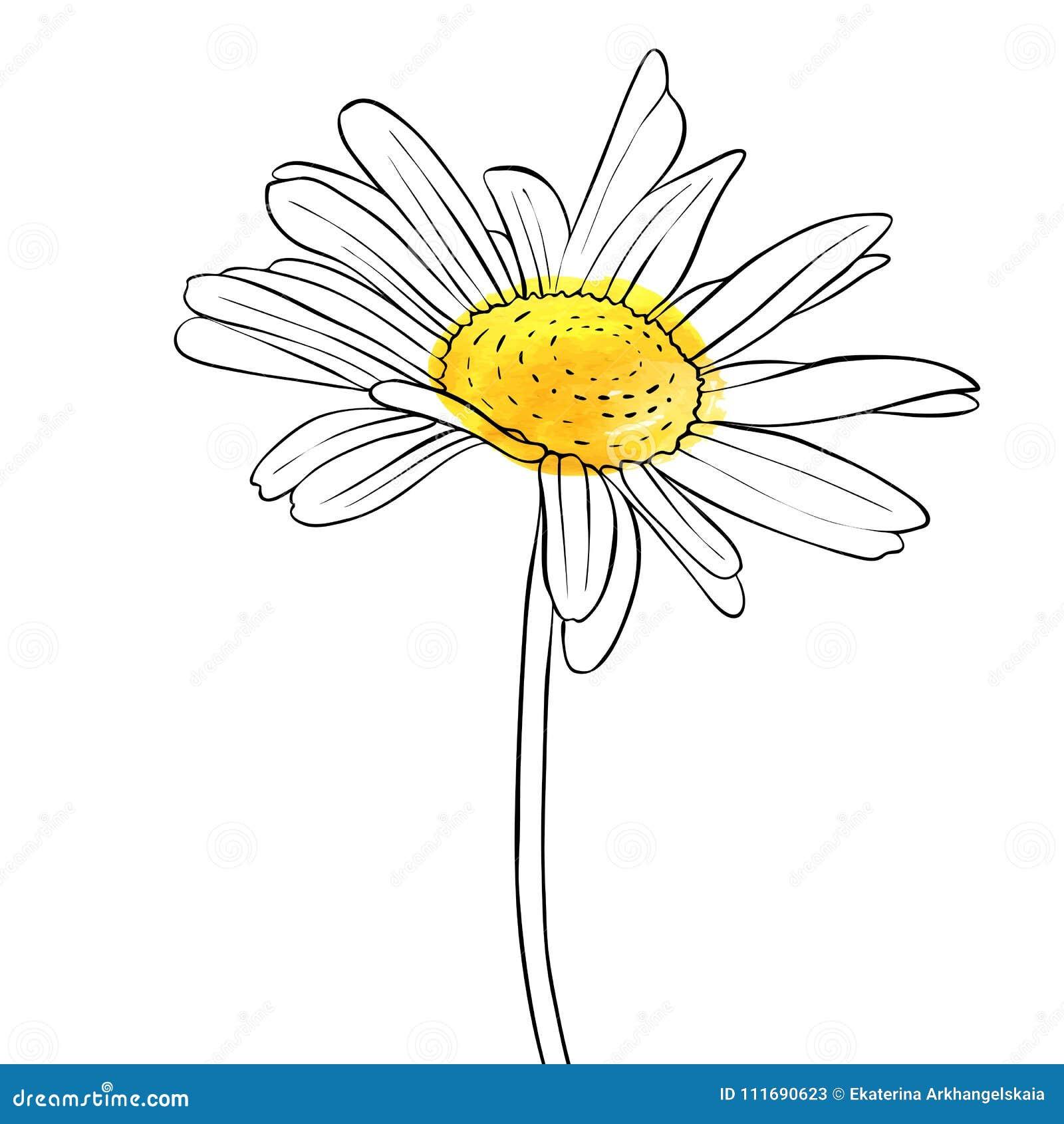 Fleur De Dessin De Vecteur De Marguerite Illustration De Vecteur Illustration Du Marguerite Fleur 111690623