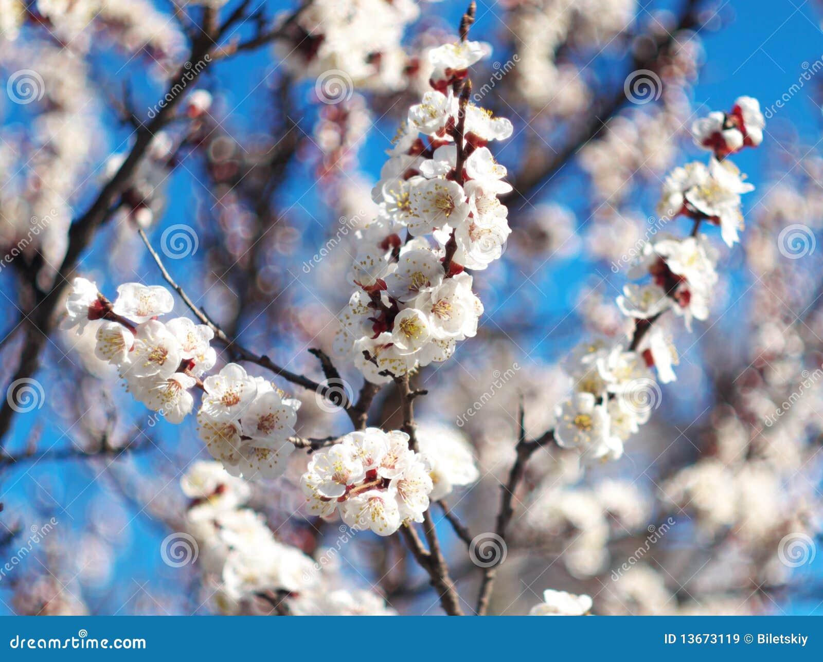 fleur de fleur blanche sur l 39 arbre image stock image du. Black Bedroom Furniture Sets. Home Design Ideas