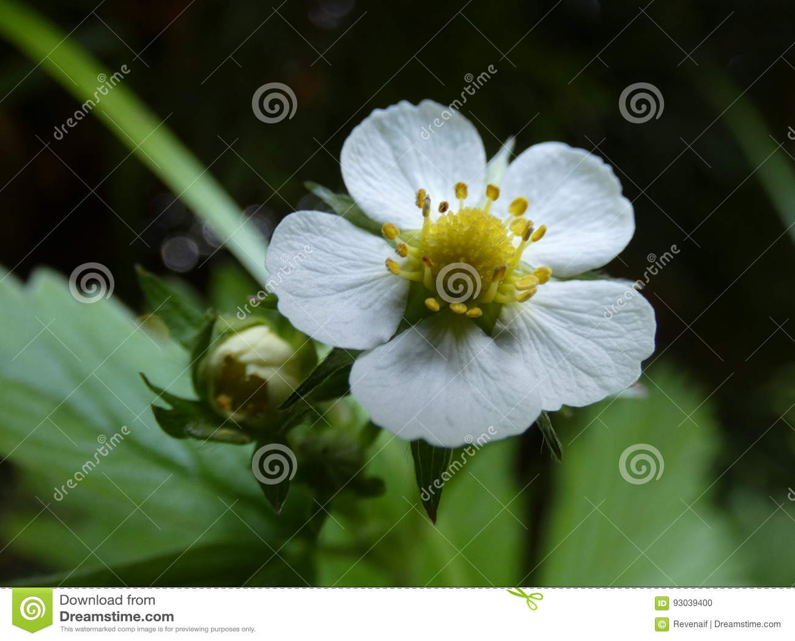 Fleur De Fleur De Fraisier Commun Photo Stock Image Du Beaute