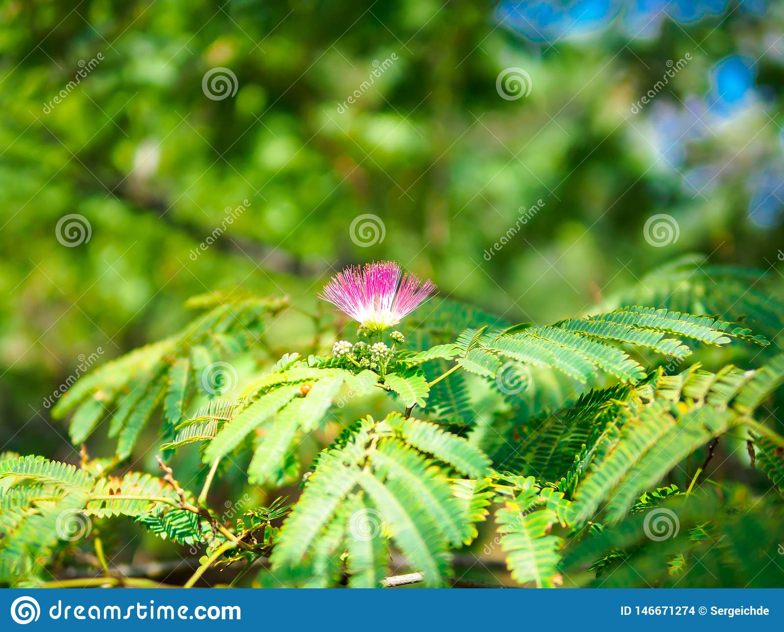 Fleur de floraison d arbre en soie persan sur la branche