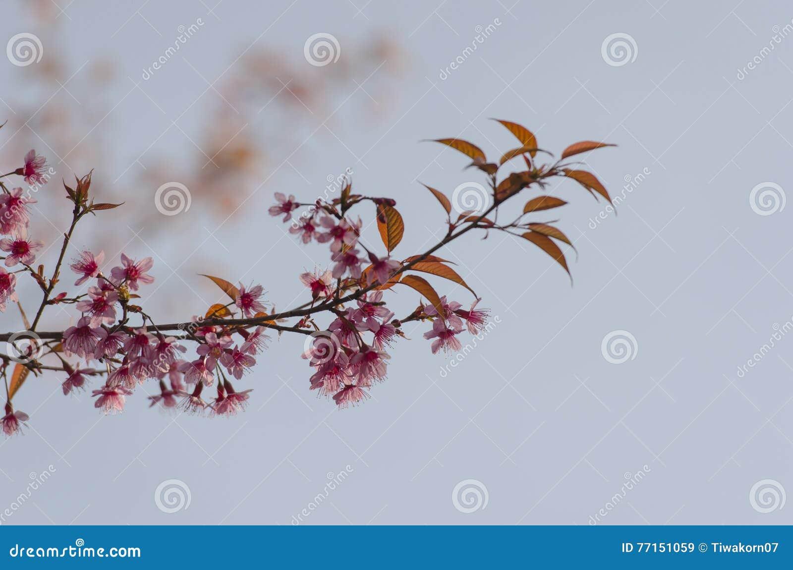 Fleur de floraison de fleurs de Sakura dans Phu-Lom-Lo