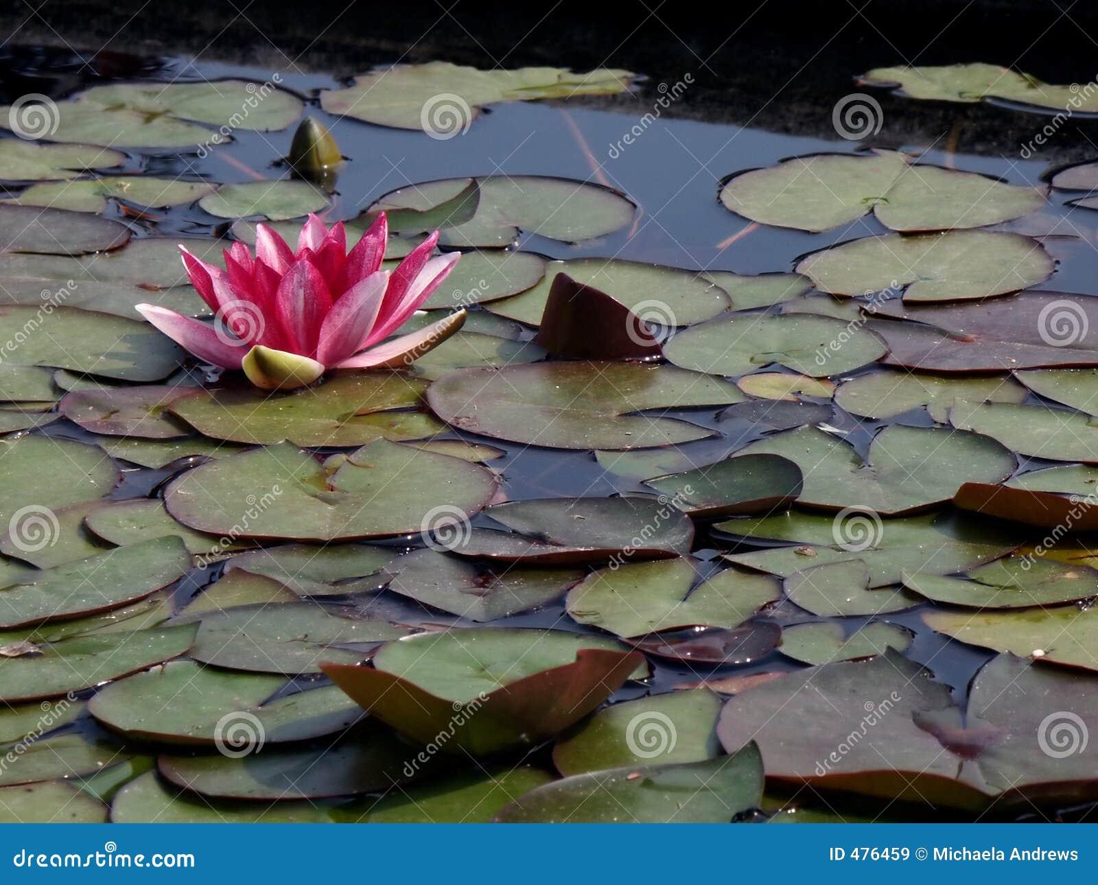 Fleur de flottement 2 de lis