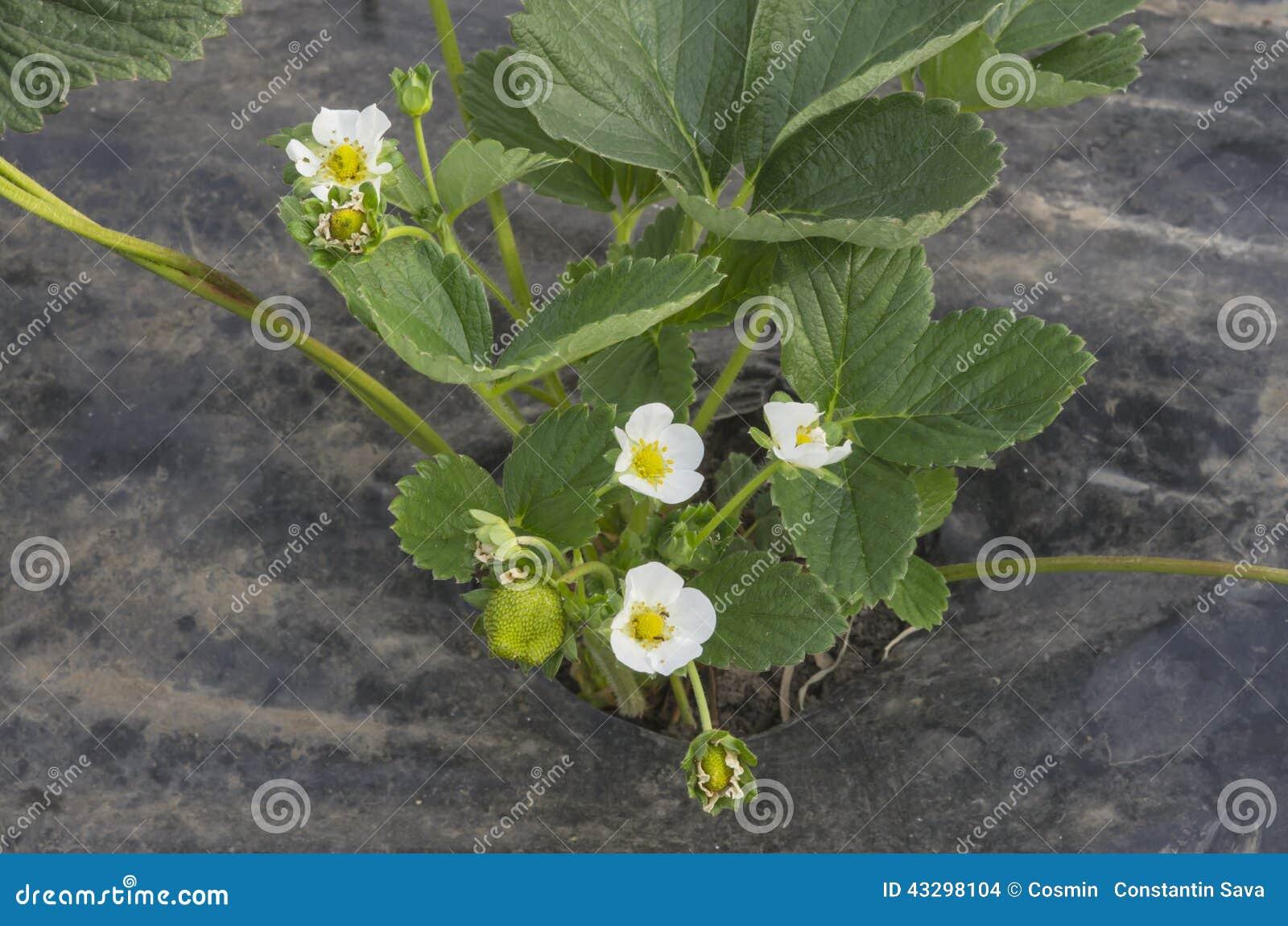 Fleur De Fraisier Photo Stock Image Du Agriculture Fruit 43298104