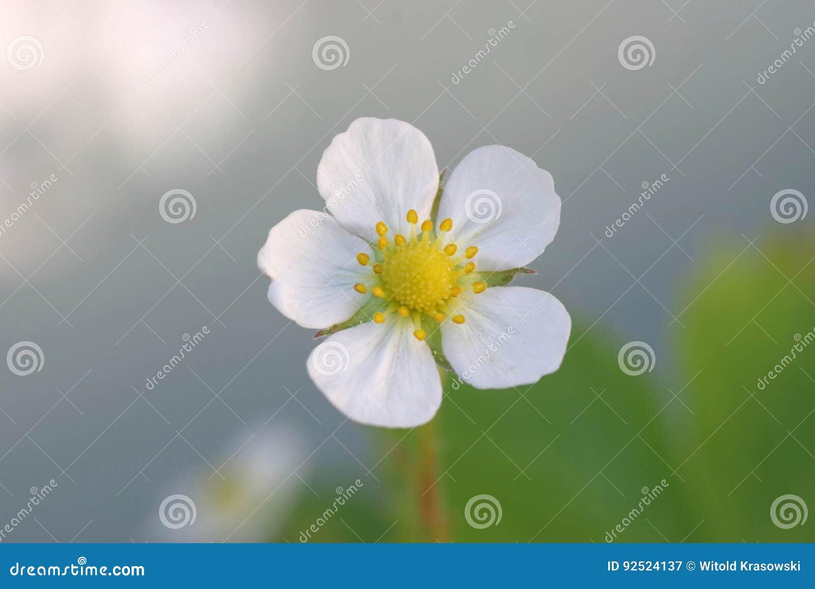 Fleur De Fraisier Commun Image Stock Image Du Macro 92524137